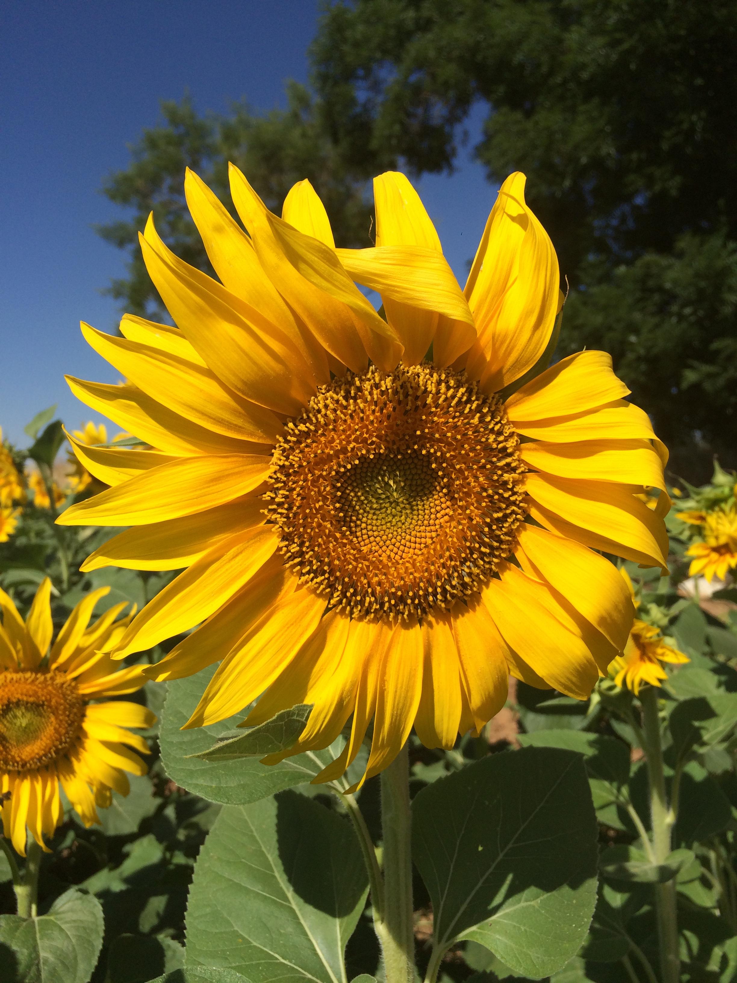 Images gratuites champ fleur p tale botanique jaune for Plante annuelle