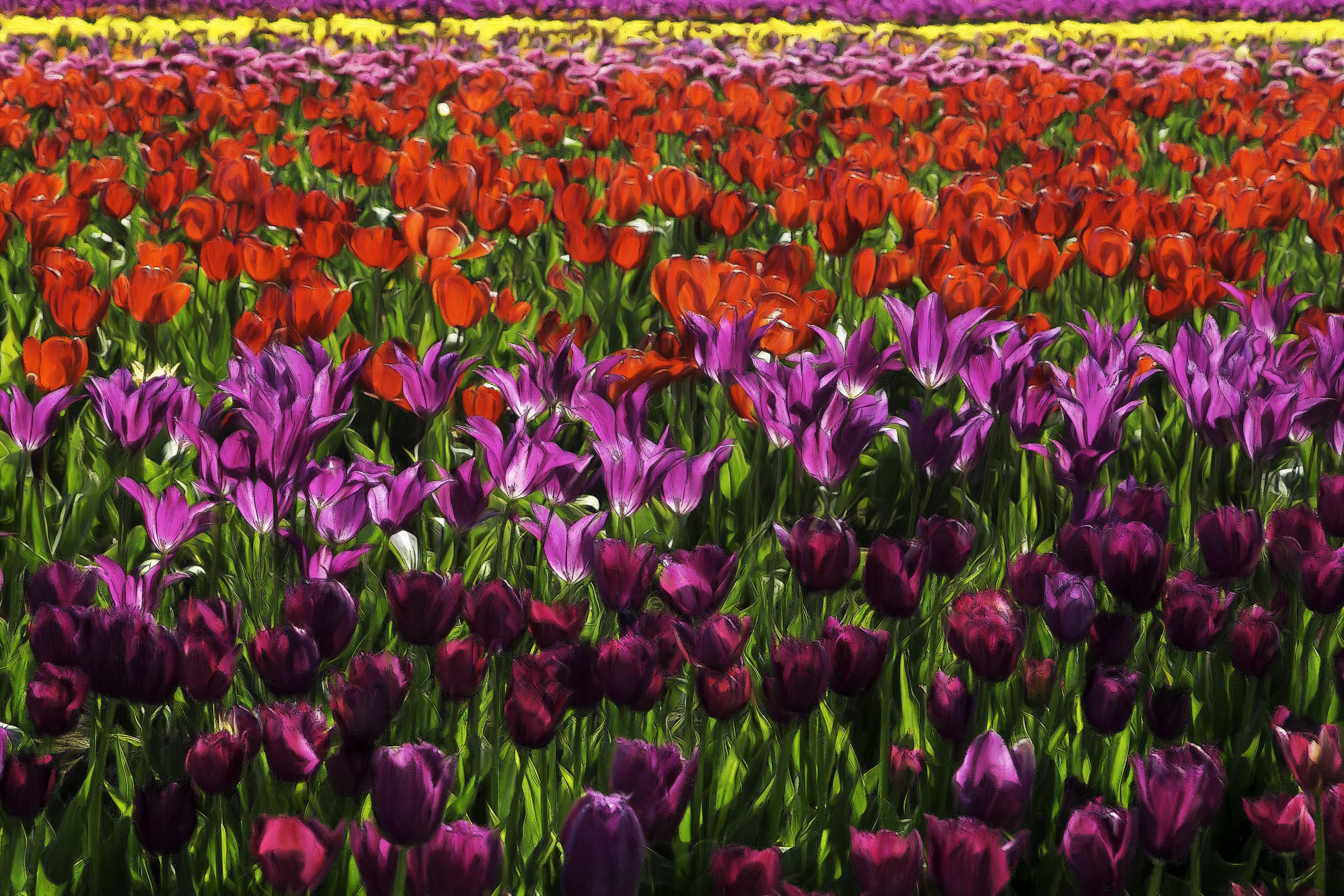 Free Images : field, flower, petal, tulip, colorful, flowers ...