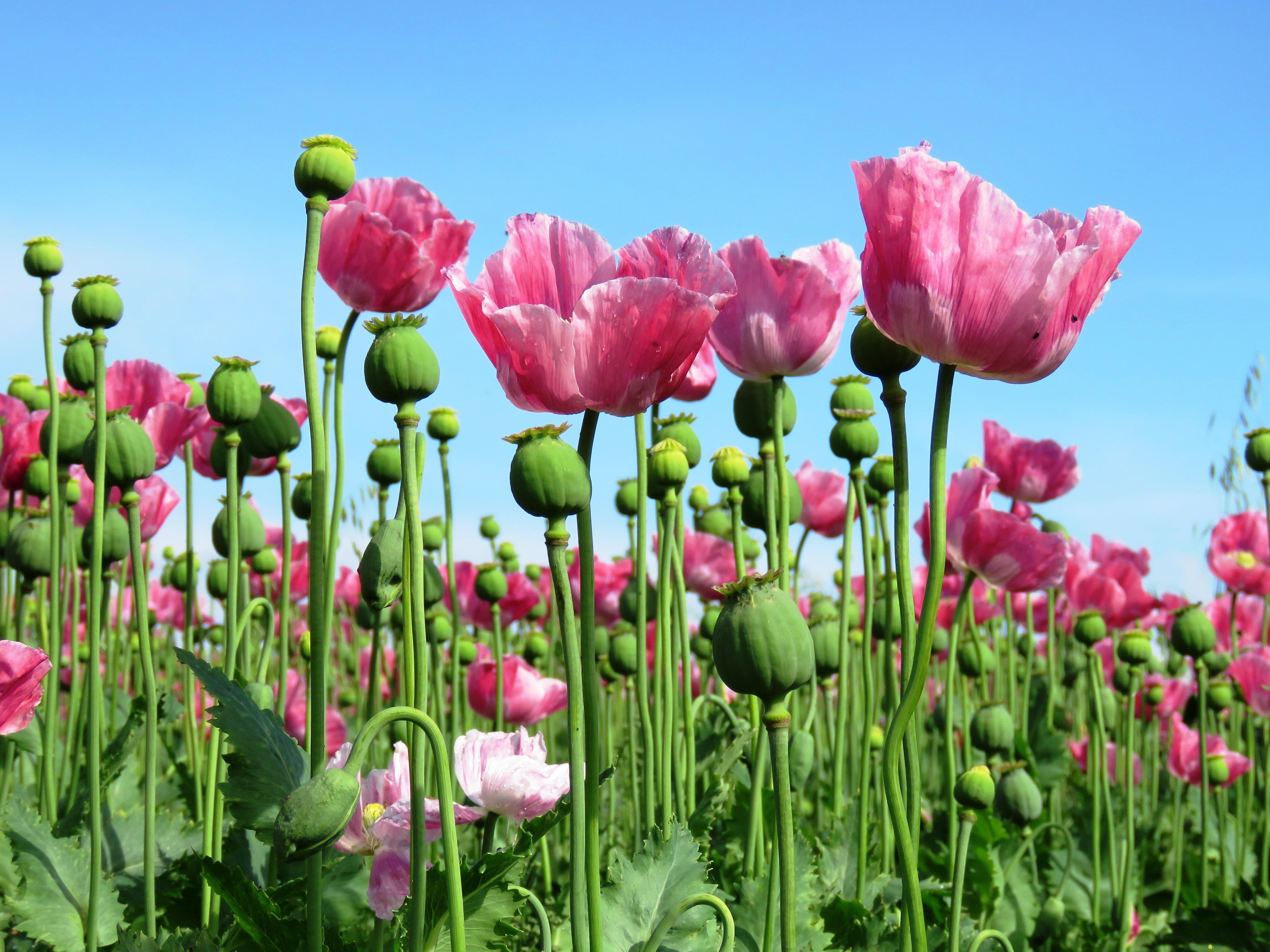 Free Images Petal Tulip Pink Poppy Flower Flowering Plant
