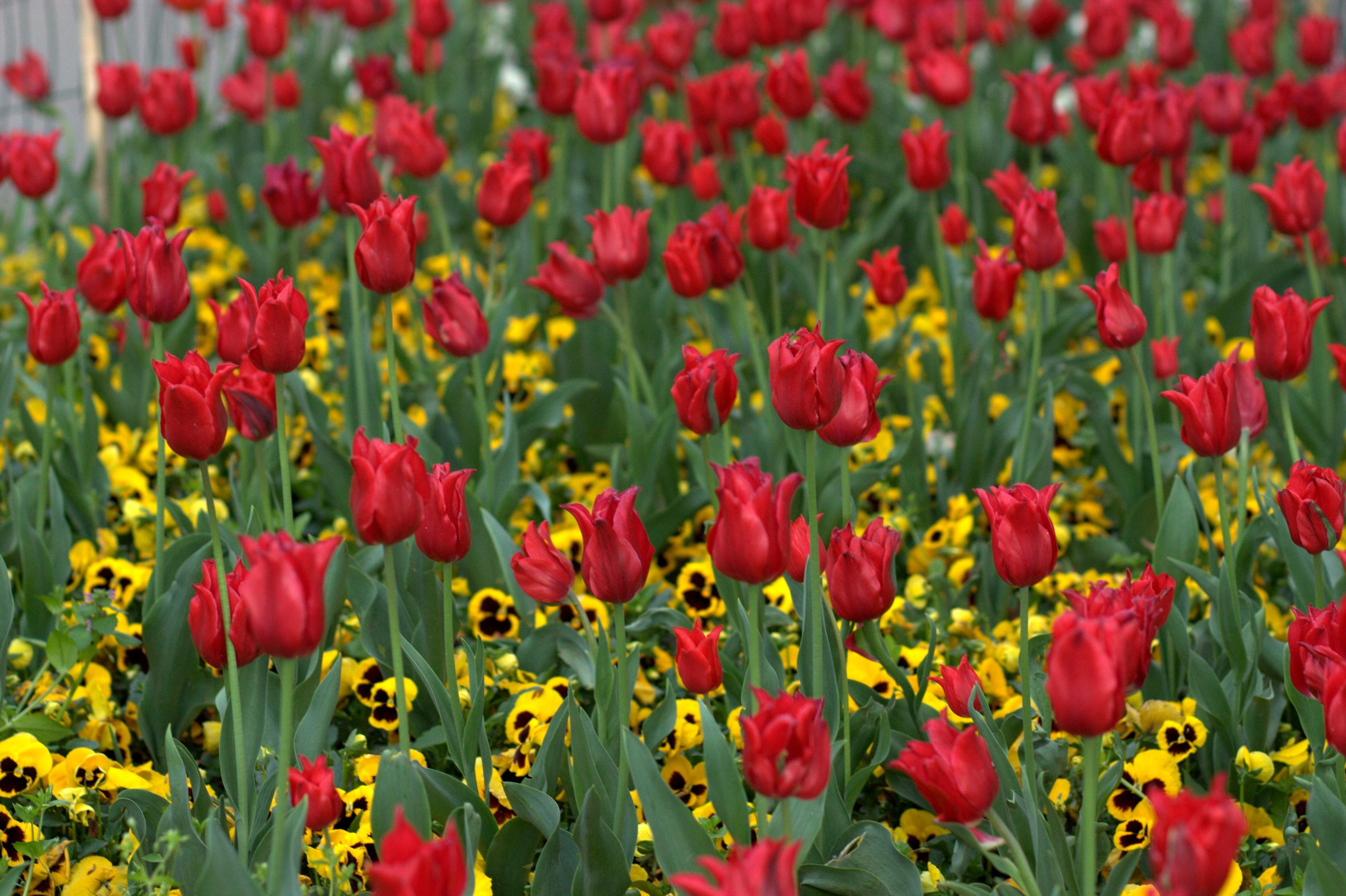 Fotoğraf Alan çiçek Taçyaprağı Lale Bahar Kırmızı çiçekler