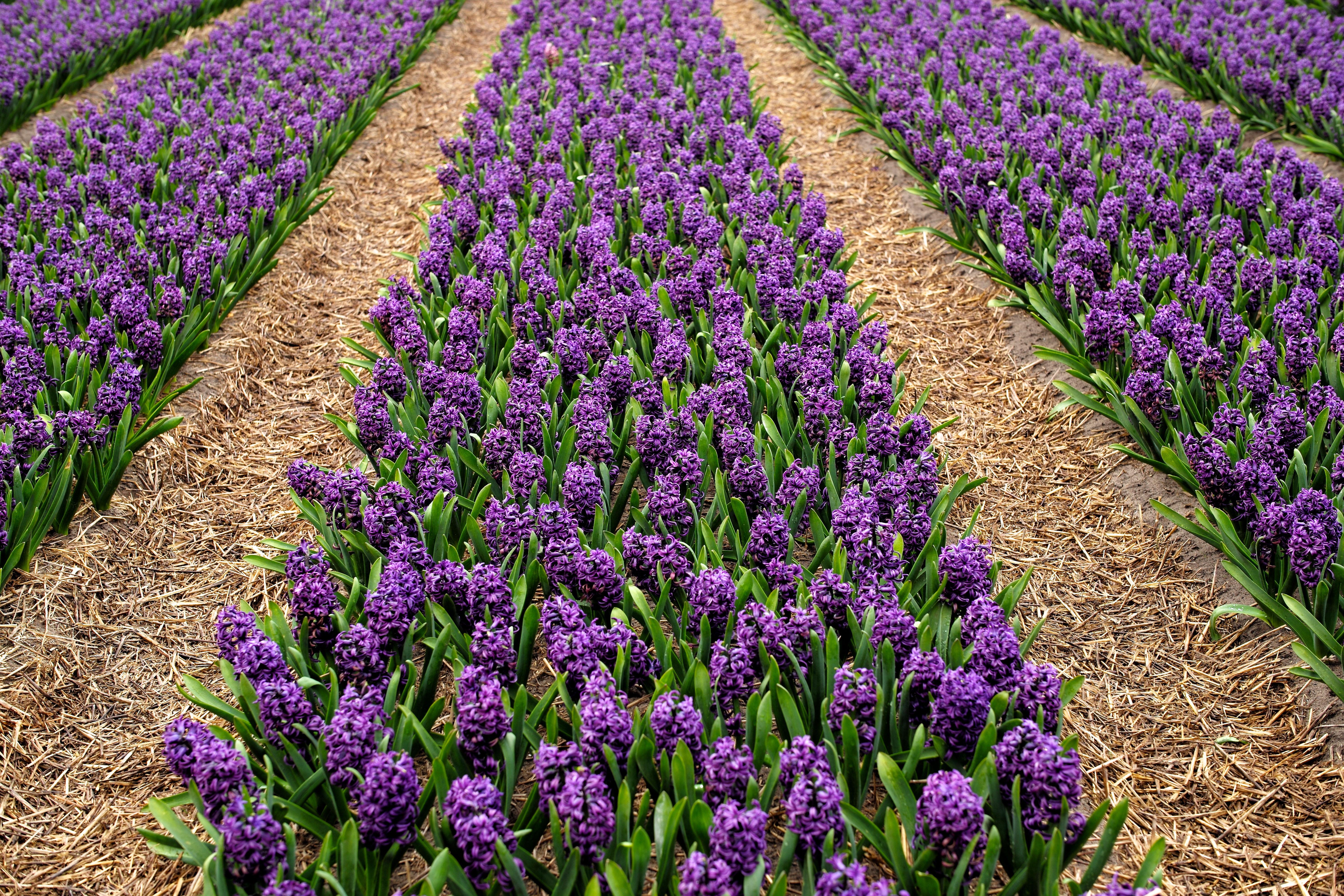 Free Images Field Flower Purple Tulip Spring Flowers Holland
