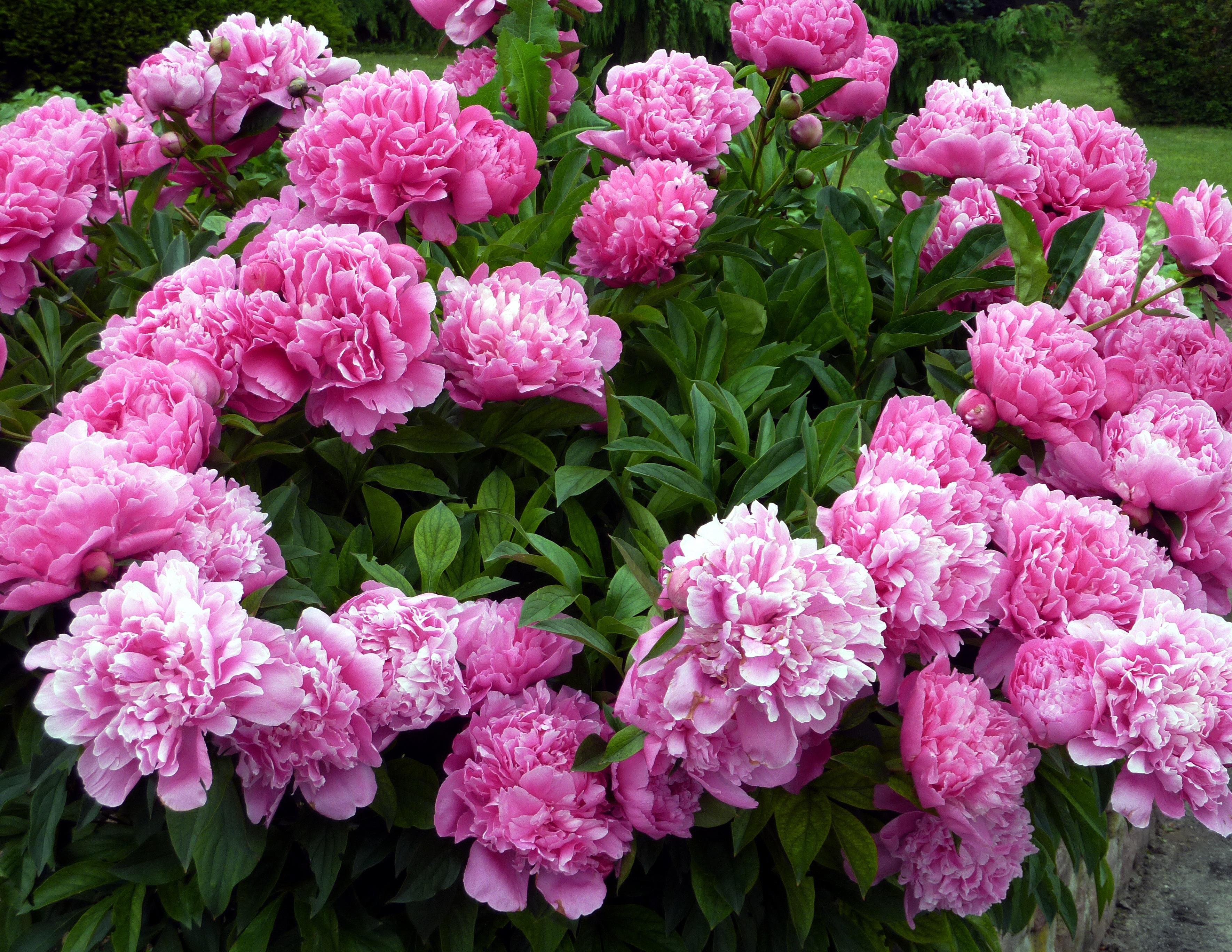 Free Images Field Flower Spring Garden Pink Hydrangea