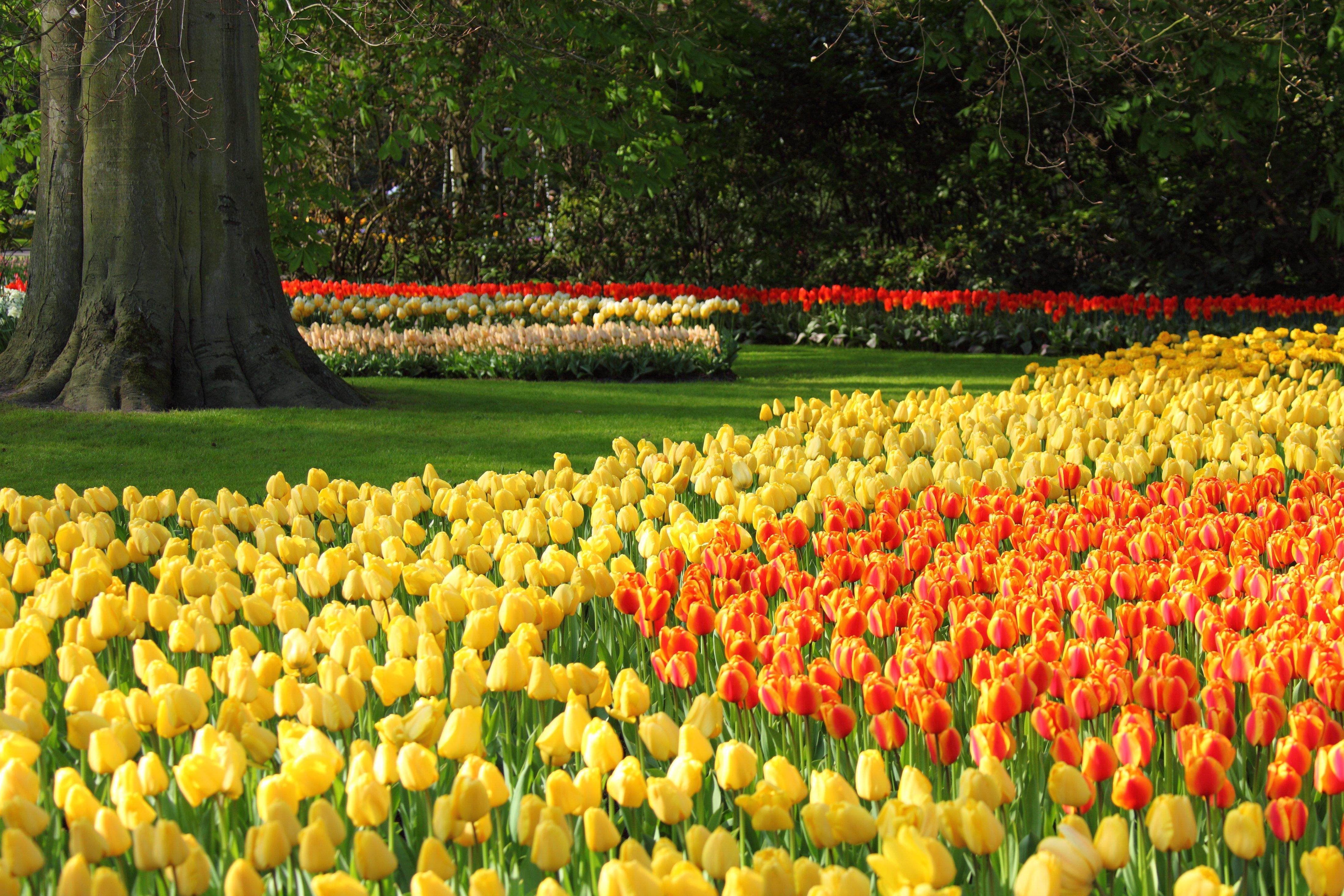 Gambar Menanam Bidang Bunga Tulp Jeruk Merah Kuning Taman Bunga Bunga Belanda Latar Belakang Umbi Tulip Tanaman Berbunga Keluarga Lily Tanaman Tanah 4392x2928 1159273 Galeri Foto Pxhere