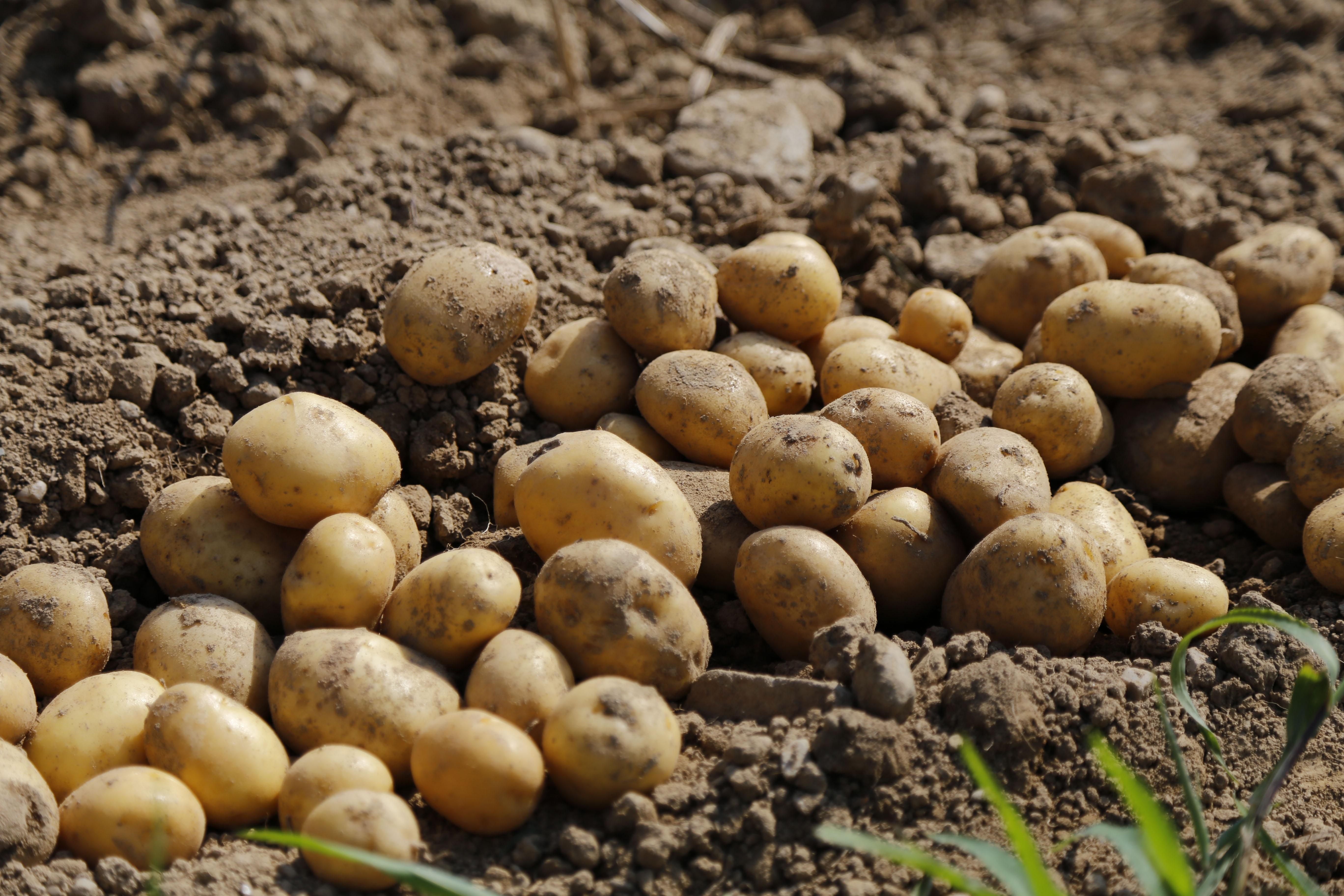 Картошка в земле картинки