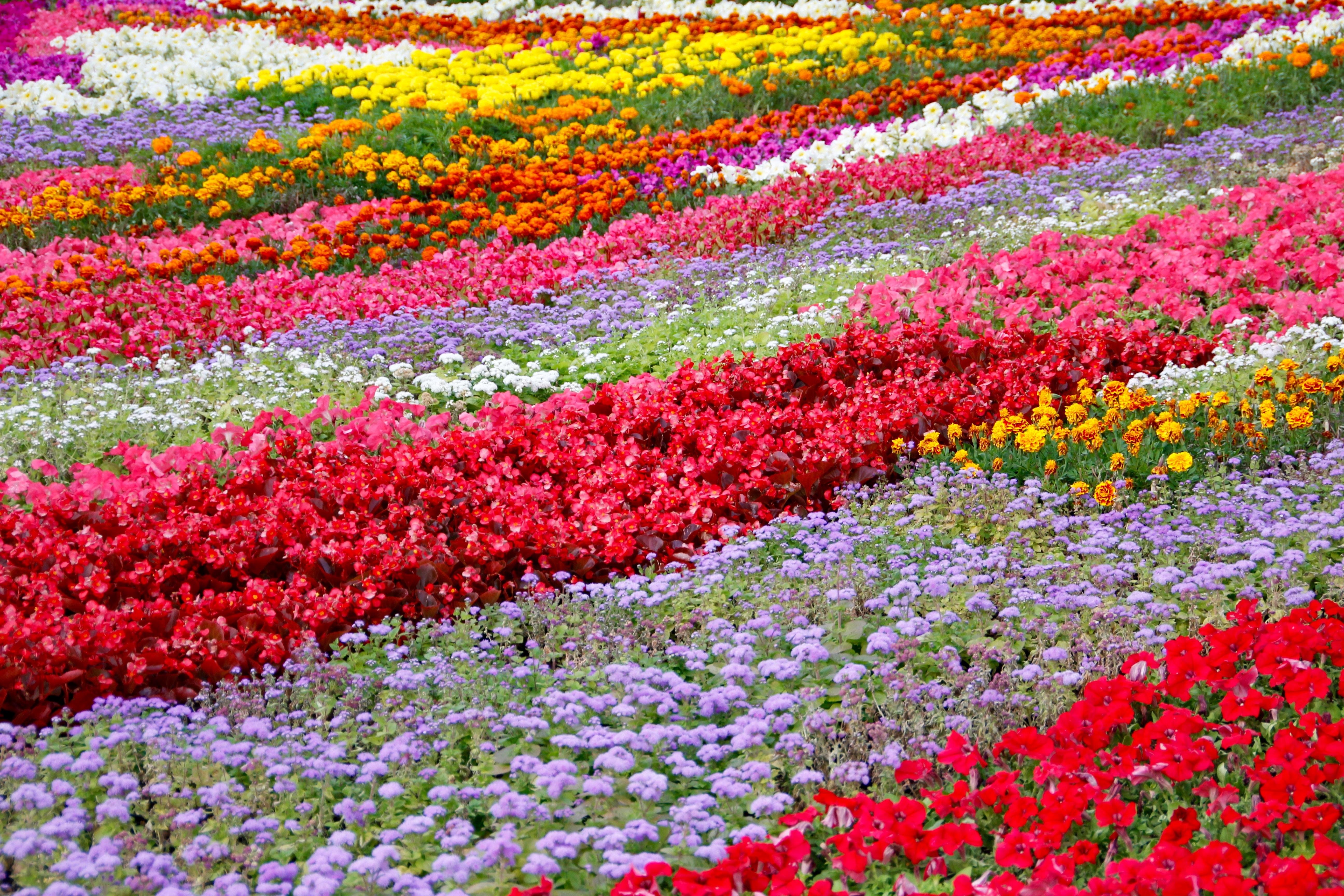 Image De Parterre De Fleurs images gratuites : champ, pelouse, prairie, fleur, floraison