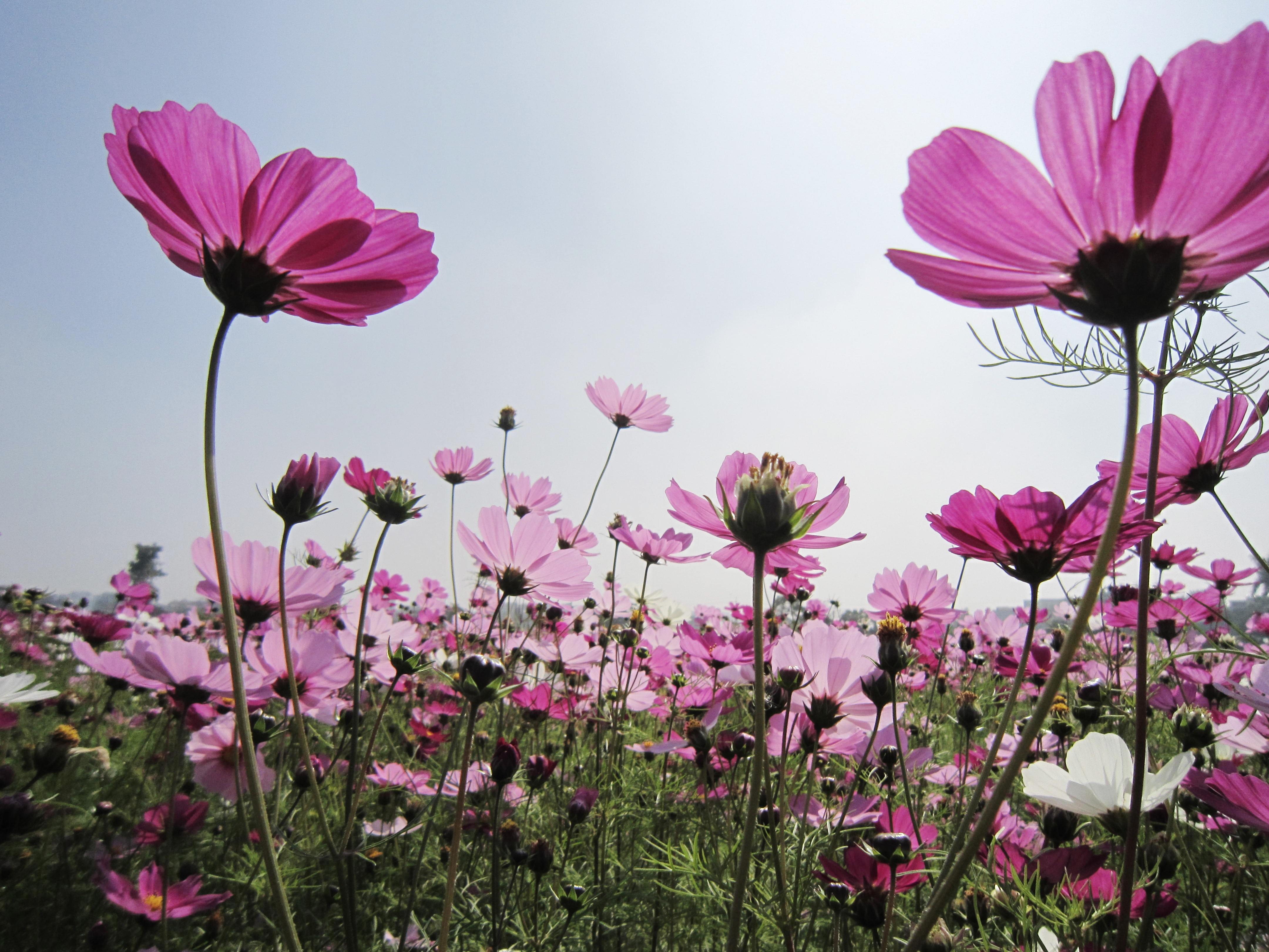 Images Gratuites Champ Prairie Cosmos Fleur Petale Poudre