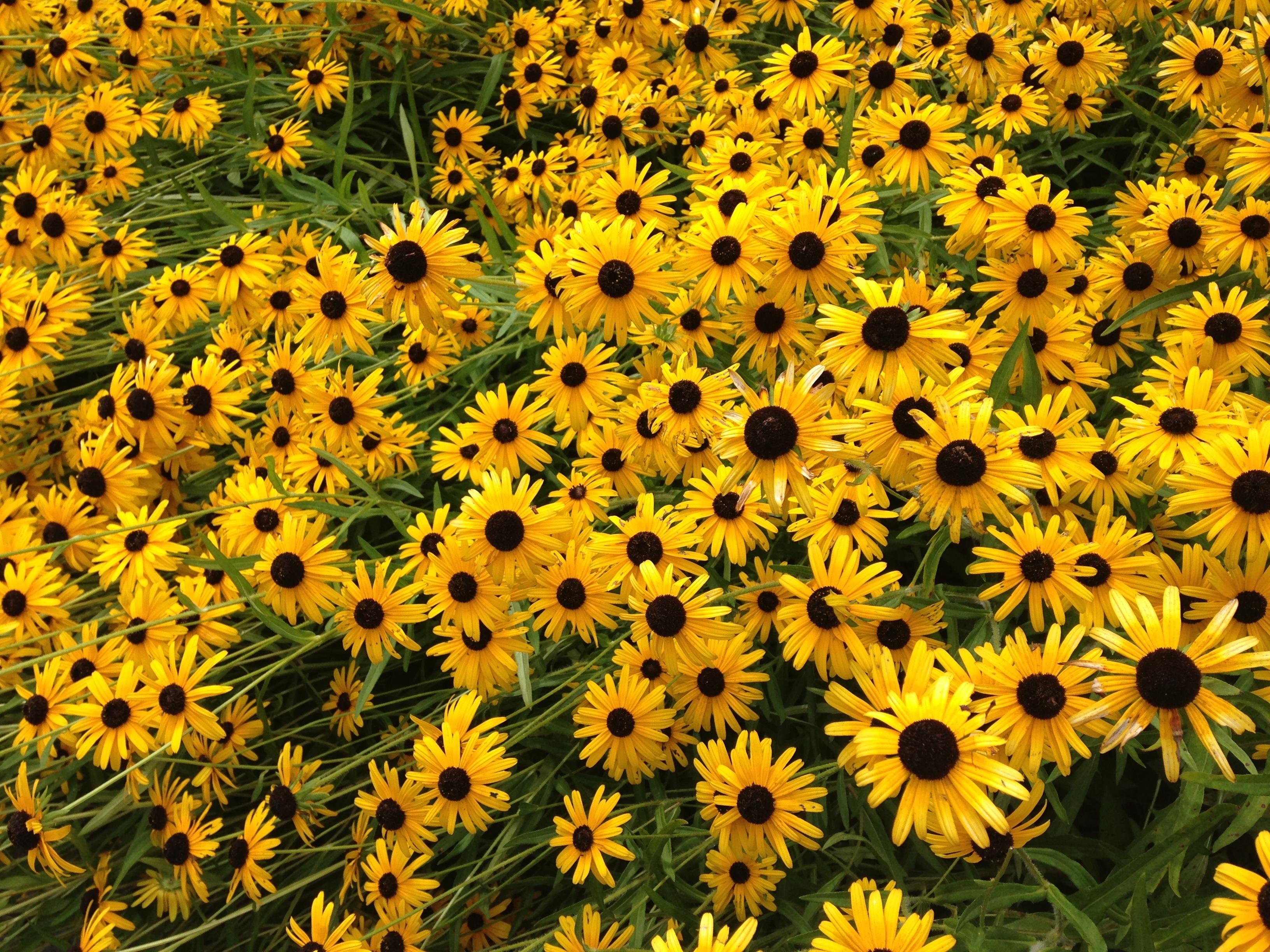 kostenlose foto wiese blume kraut botanik bl hen gelb garten flora sonnenblume. Black Bedroom Furniture Sets. Home Design Ideas