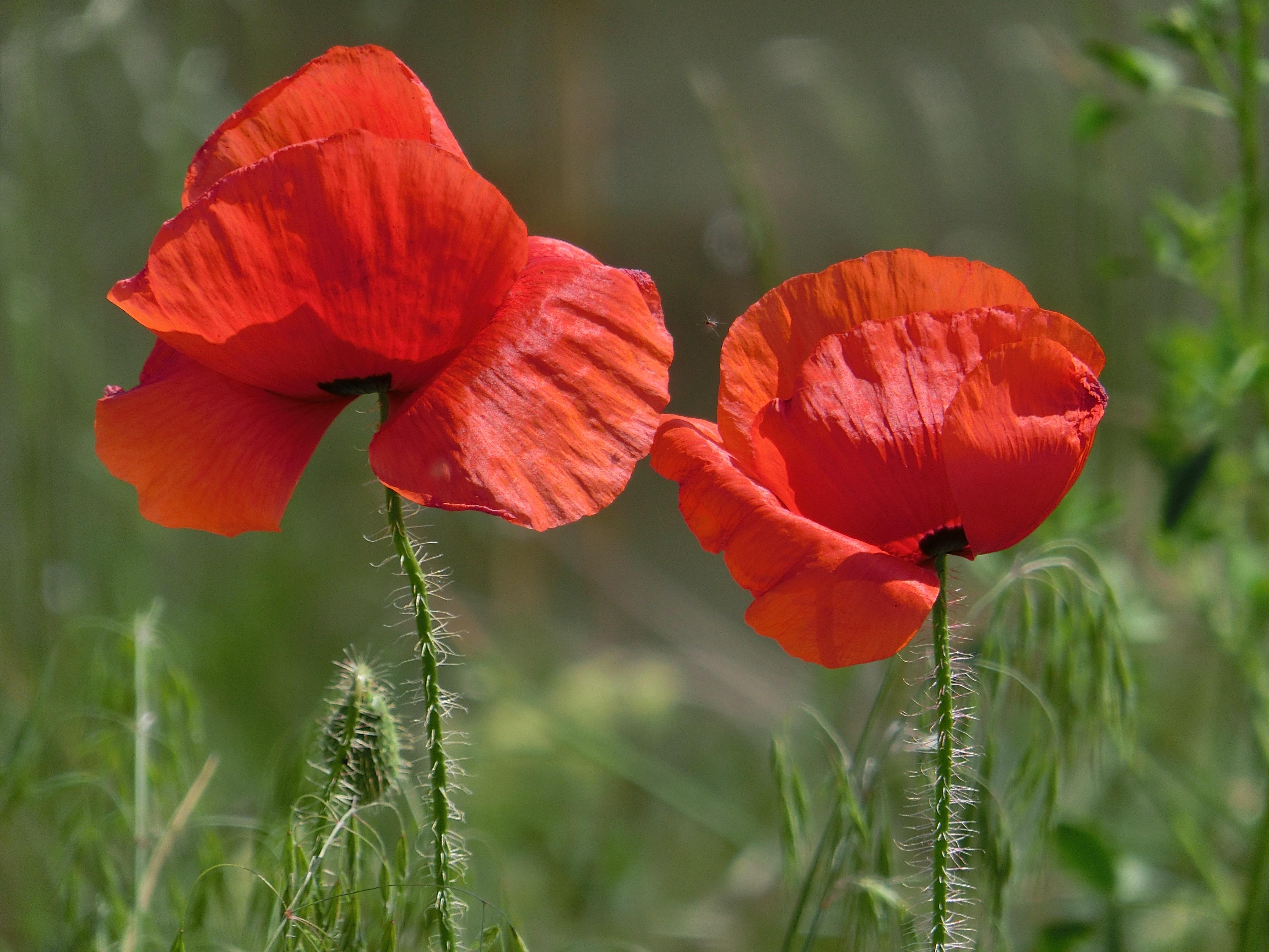 свое красные маки цветы фото коем случае сочетайте