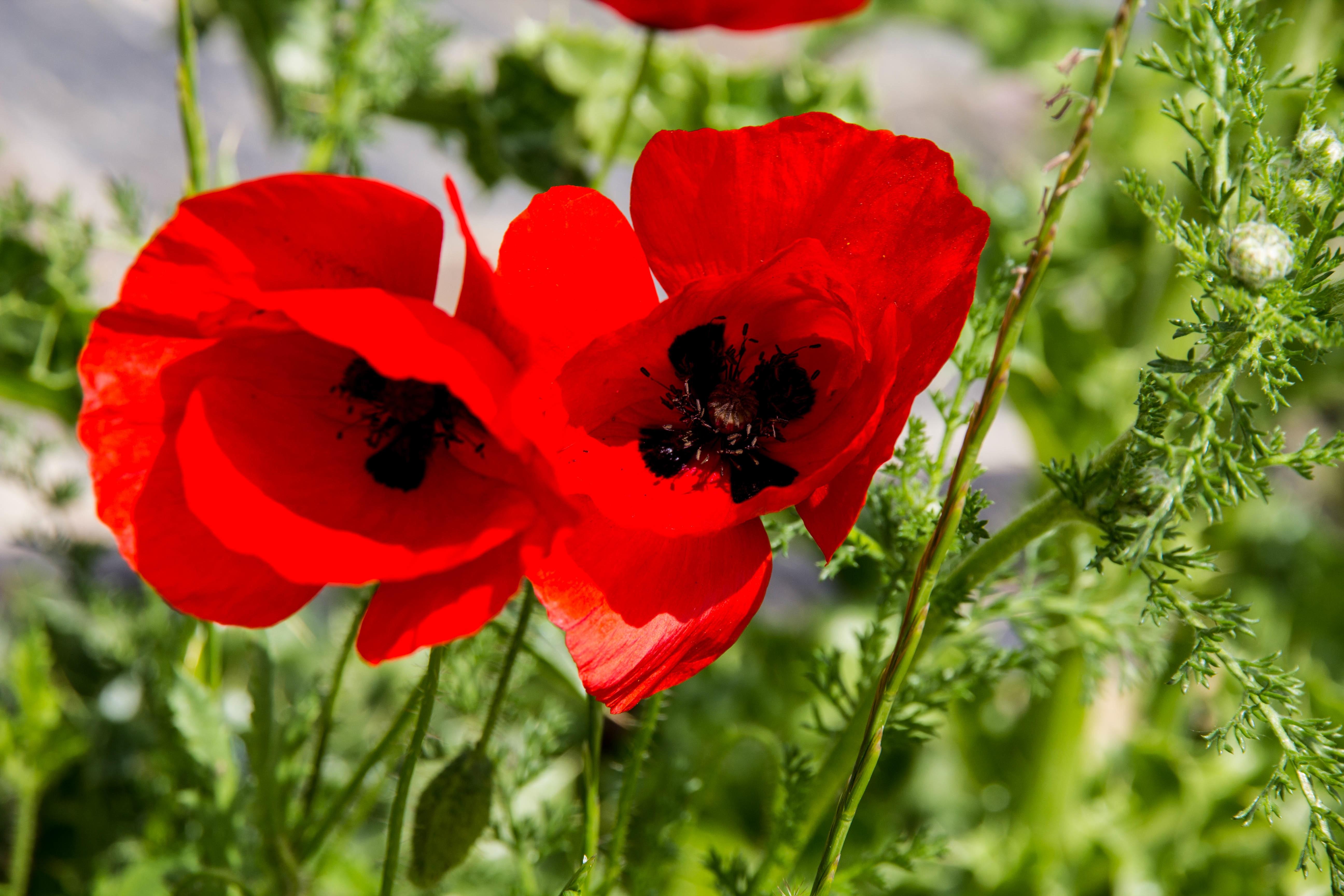 images gratuites champ prairie fleur p tale rouge flore fleur sauvage coquelicot. Black Bedroom Furniture Sets. Home Design Ideas