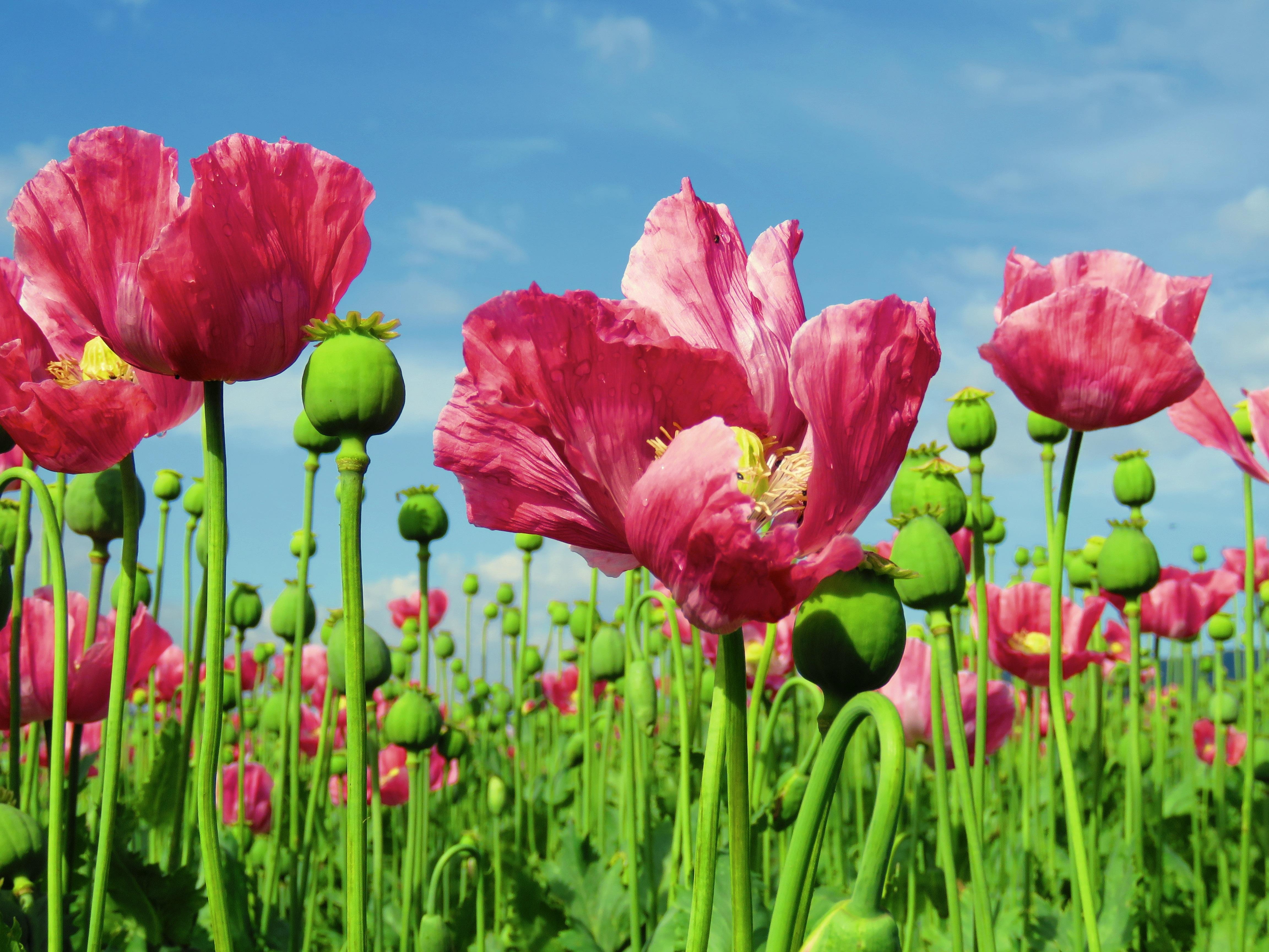 Free Images Meadow Petal Tulip Flora Poppy Flower Flowering