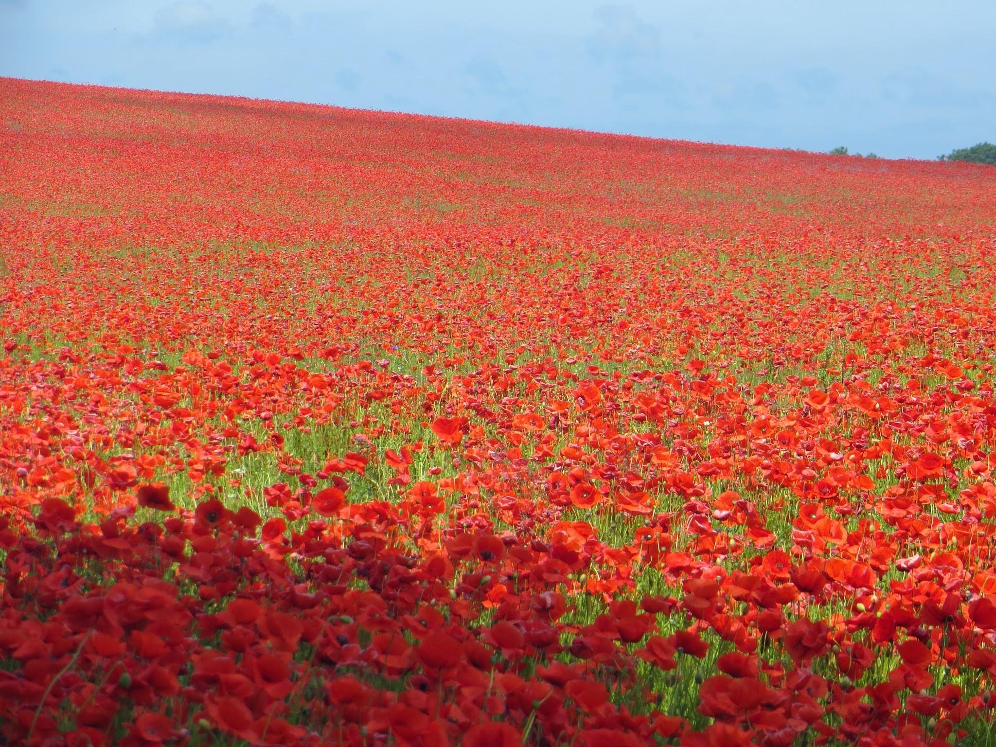 принтер поле из красных роз картинки этой