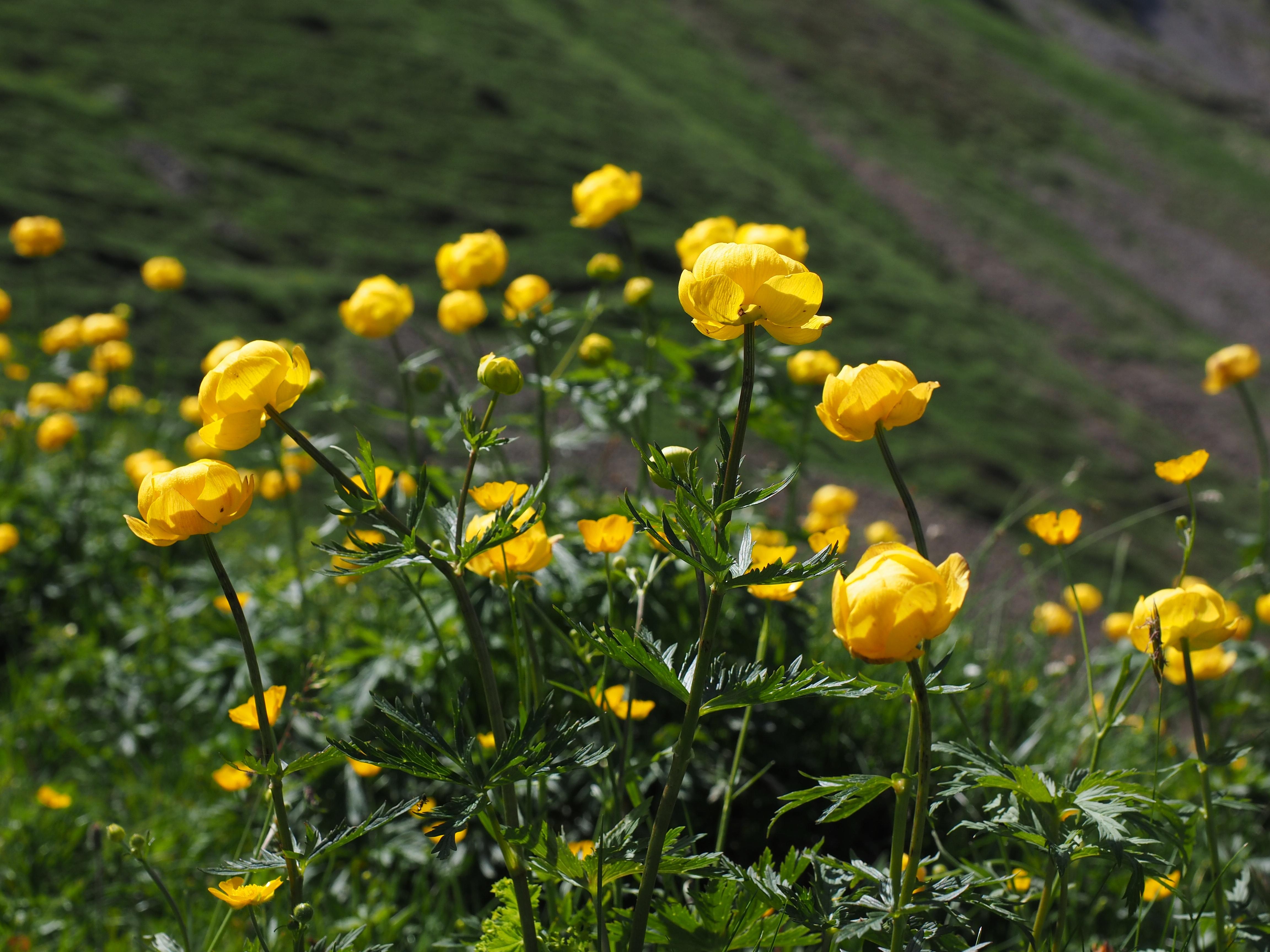 images gratuites champ prairie prairie jaune flore fleur sauvage renoncule plante. Black Bedroom Furniture Sets. Home Design Ideas