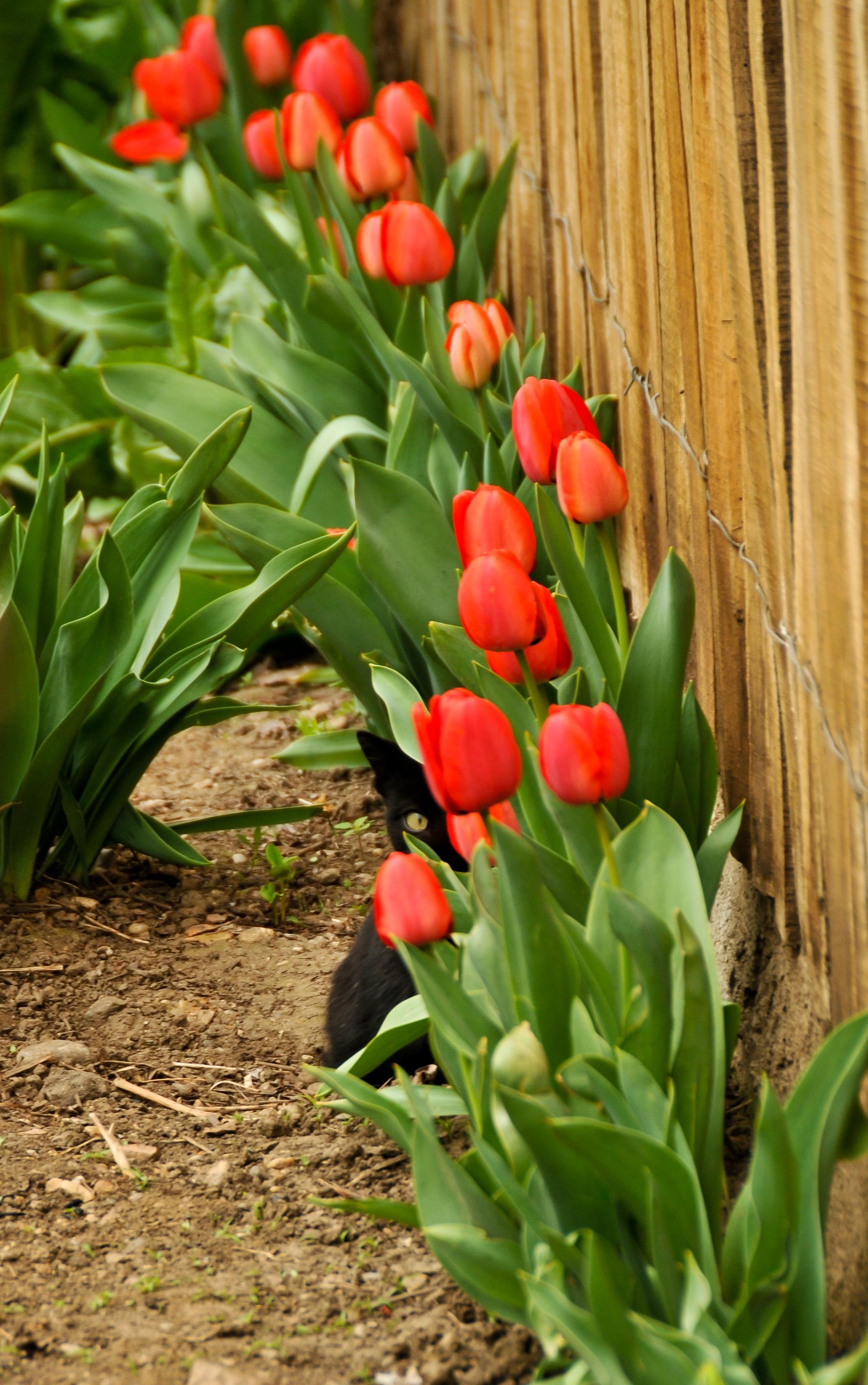 Free Images Flower Animal Tulip Red Cat Botany Black Eye