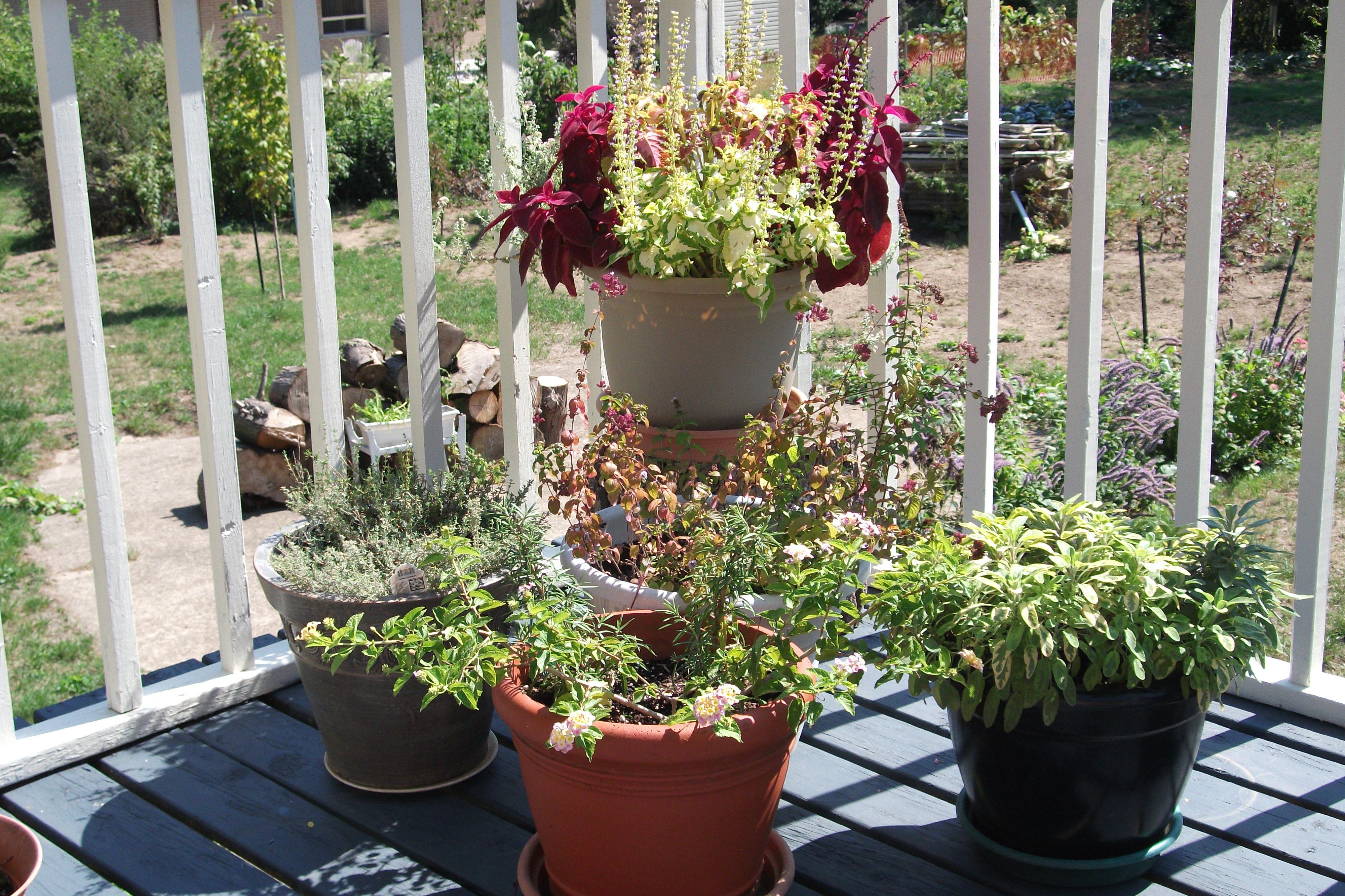 Arbustos de interior simple perfect plantas semillas de flores semillas de bonsai de arce - Semillas de interior ...