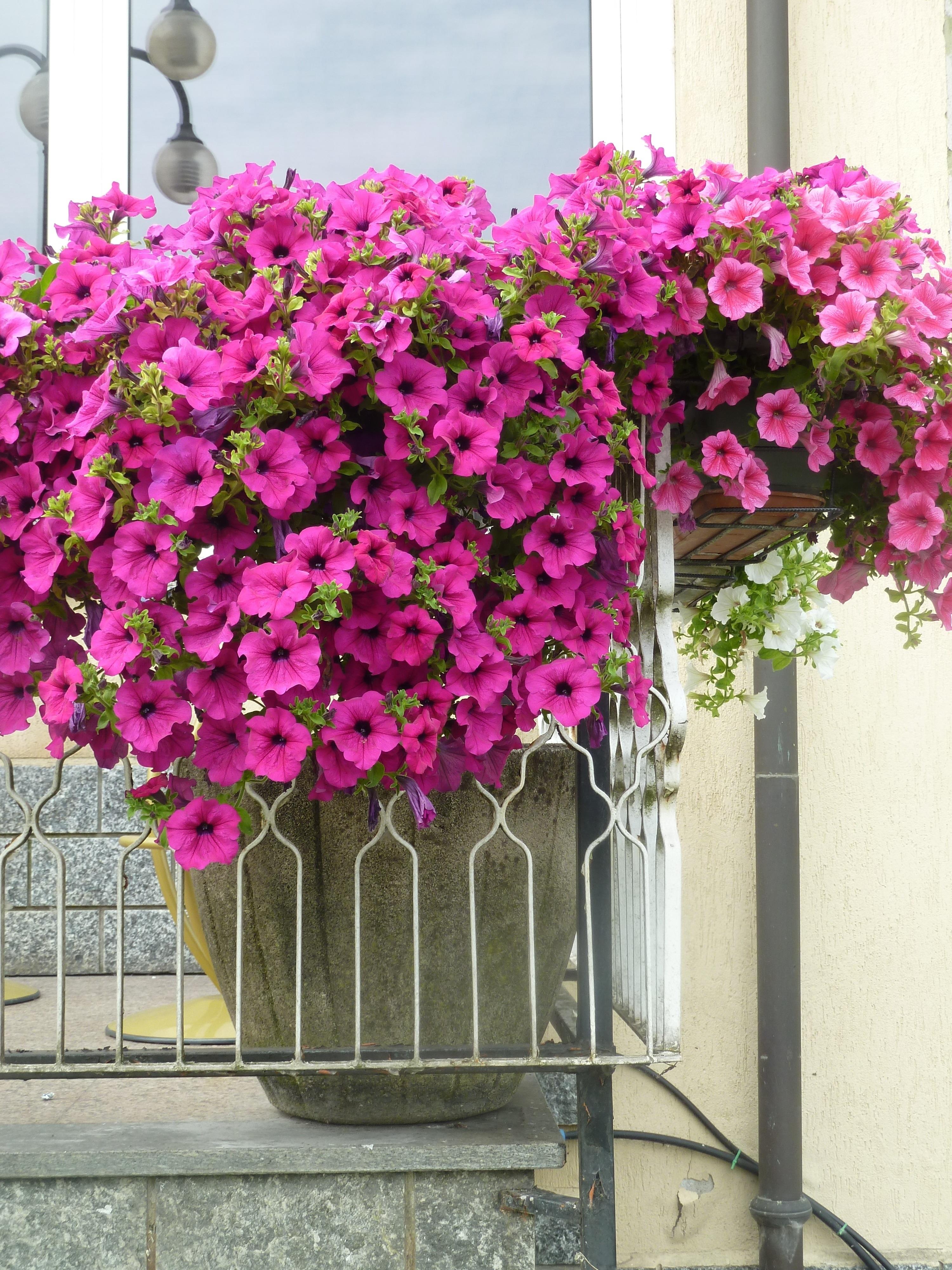 Images Gratuites Fleur Balcon Rose Hortensia