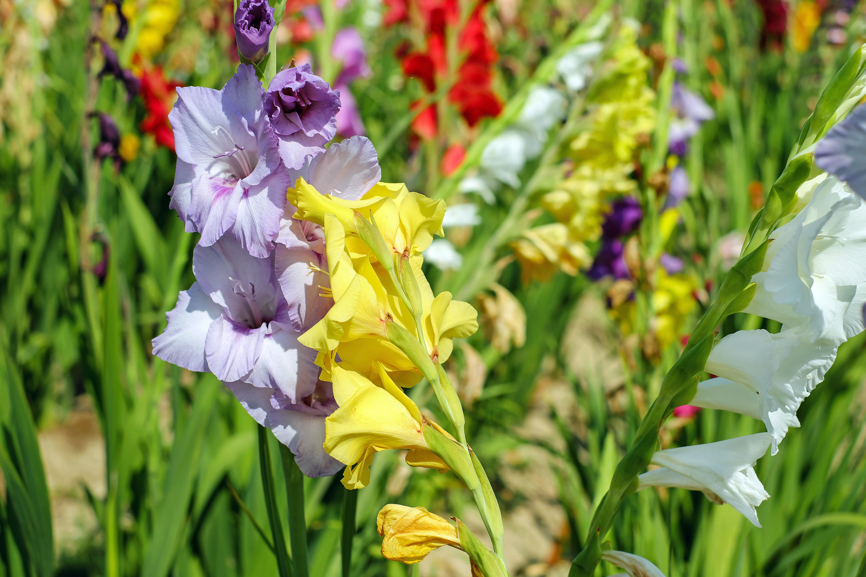 Free images flower bloom botany colorful flora wildflower plant flower bloom botany colorful flora wildflower flowers iris eye gladiolus field of flowers flowering plant izmirmasajfo