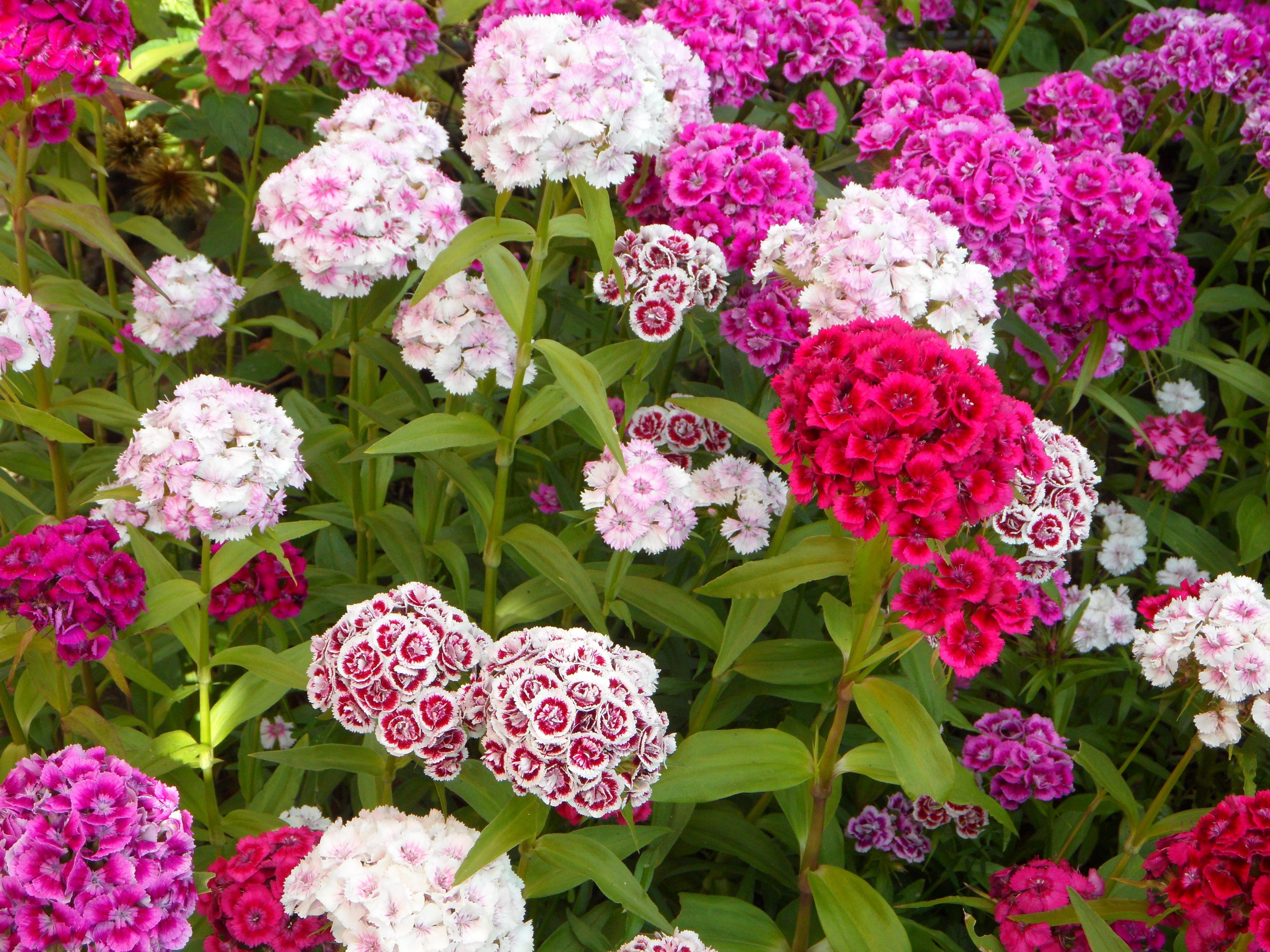 Images Gratuites : fleur, Floraison, rose, Dianthus, achillée ...