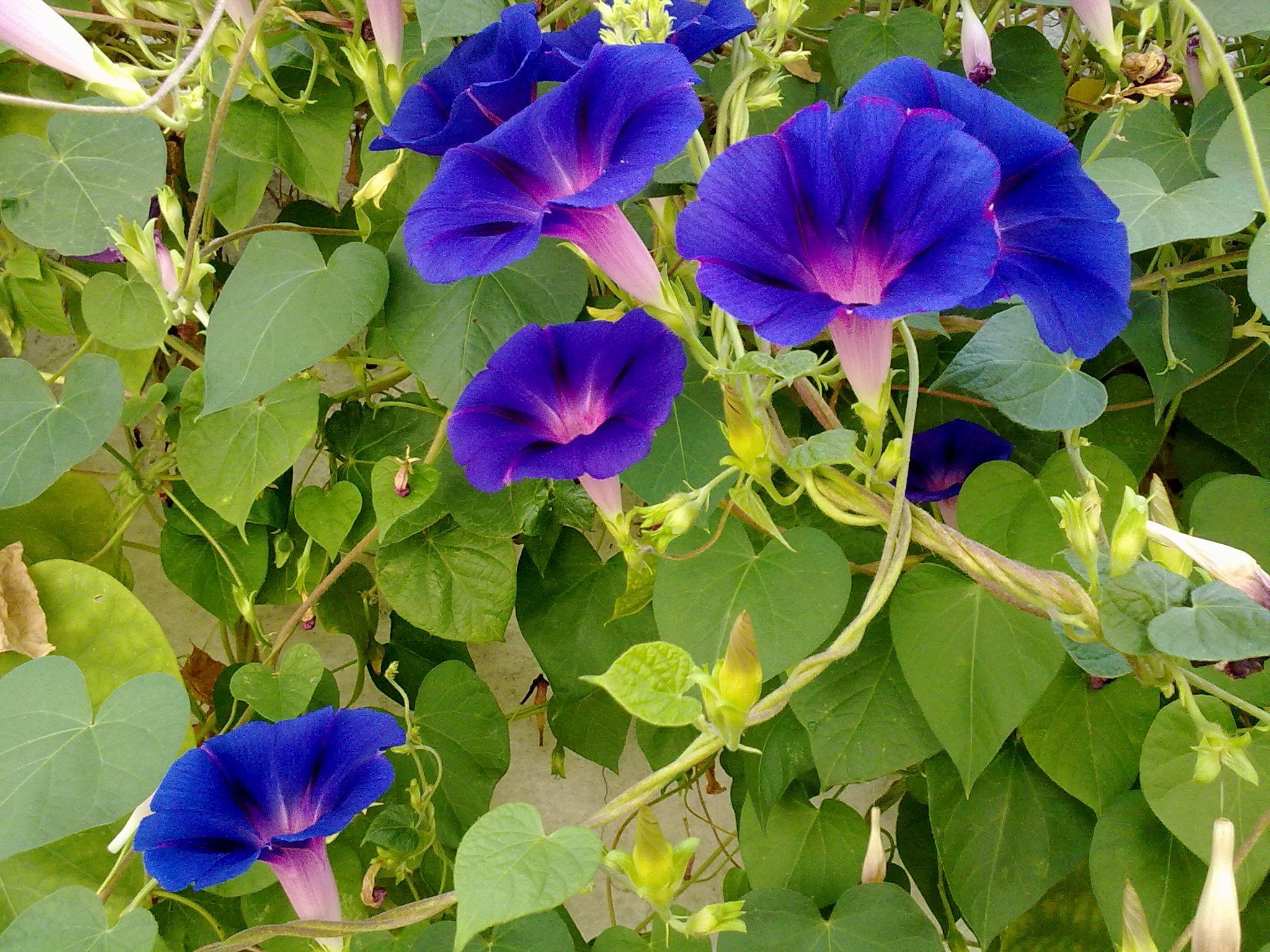 42 растения с синими цветками Дизайн участка (Огород. ru) 66