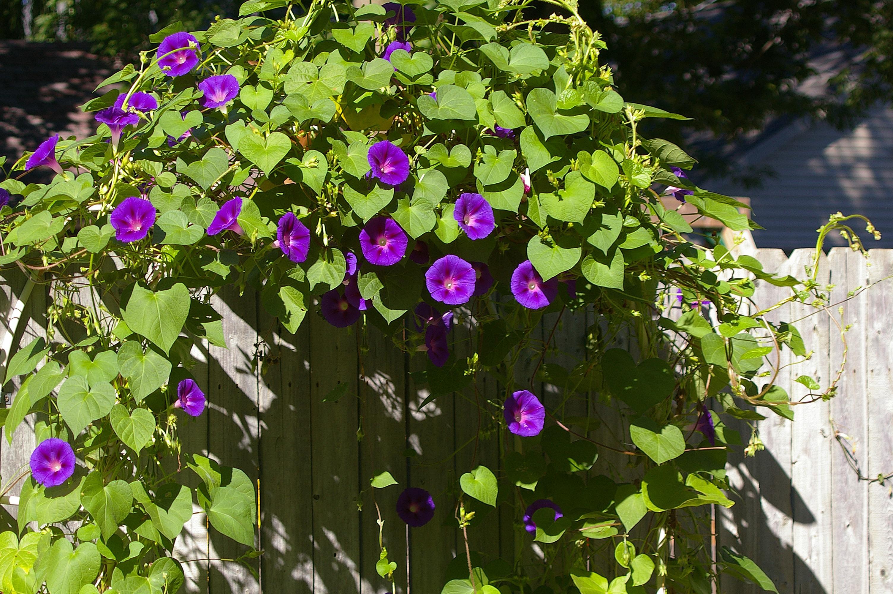 Free Images Flower Botany Climber Garden Flora Wildflower