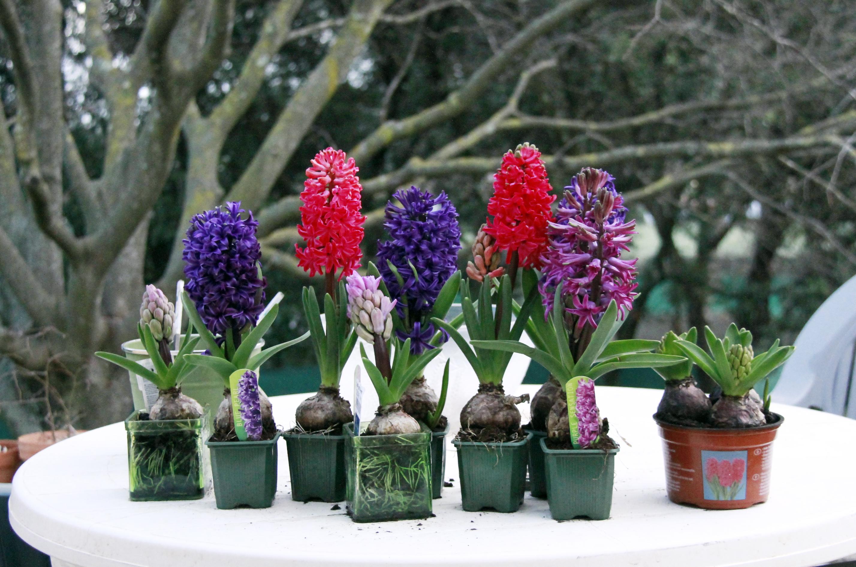 images gratuites fleur botanique flore hiver fleurs couleurs plantes jacinthe. Black Bedroom Furniture Sets. Home Design Ideas