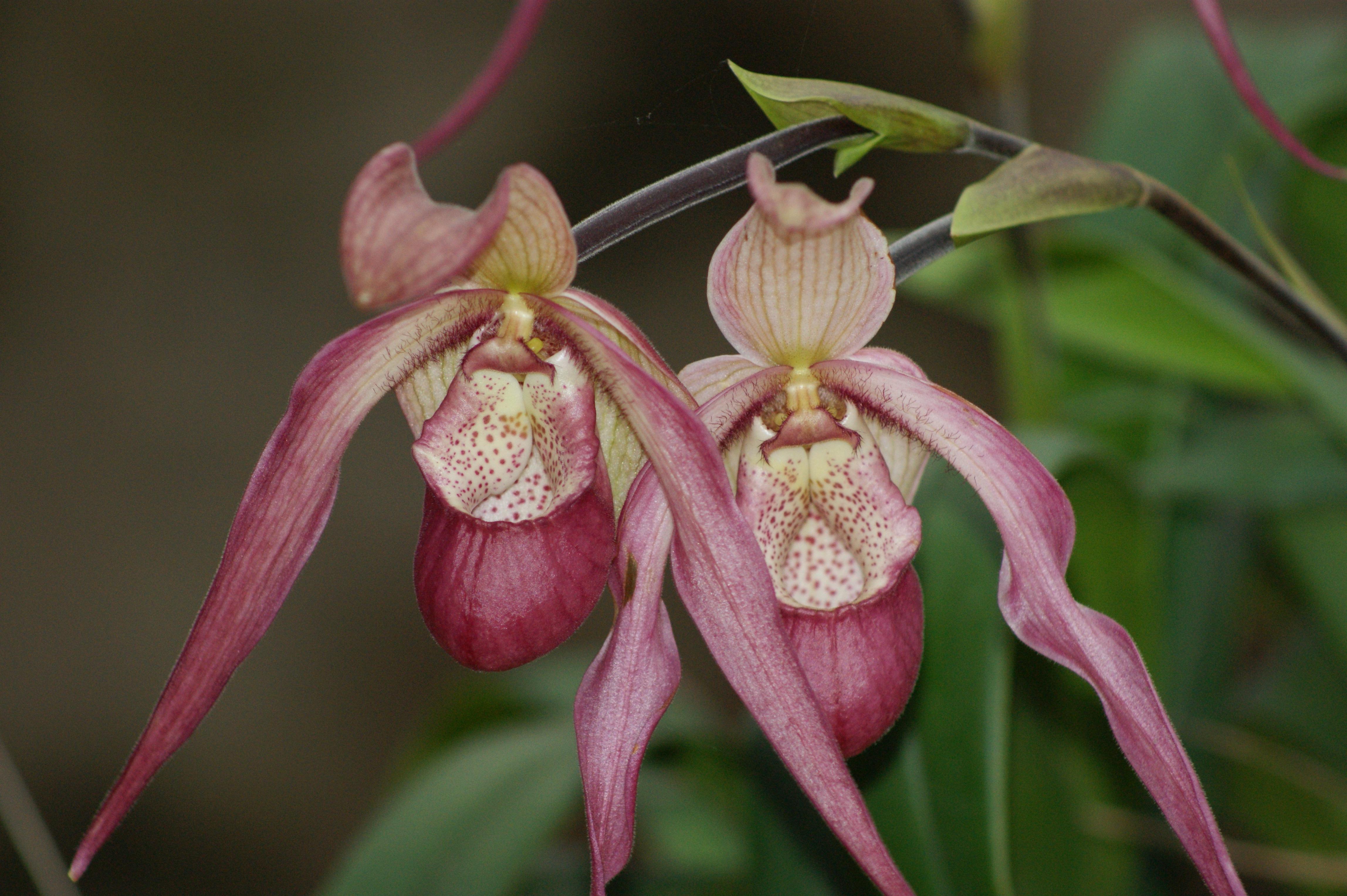 Орхидея откуда она родом фото