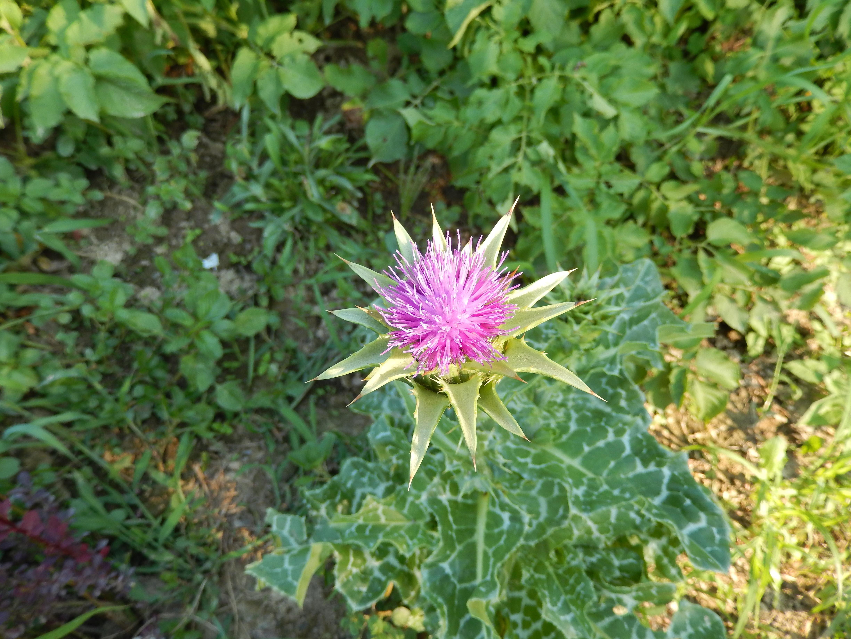 Kostenlose Foto Blume Botanik Garten Flora Wildblume Strauch