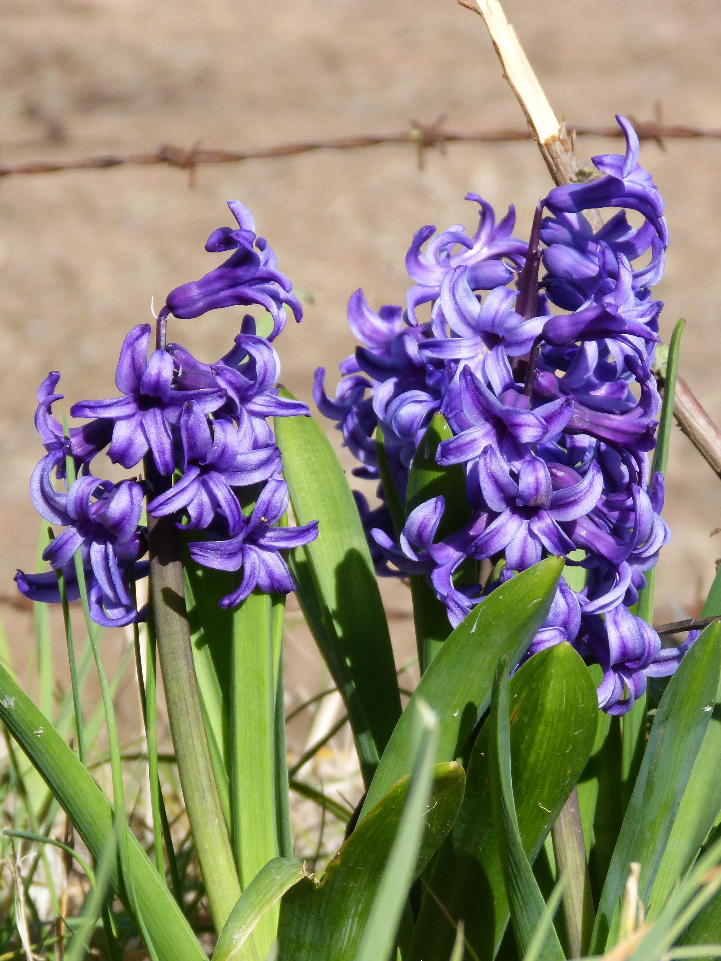 Free flower botany hyacinth spring flowers gladiolus