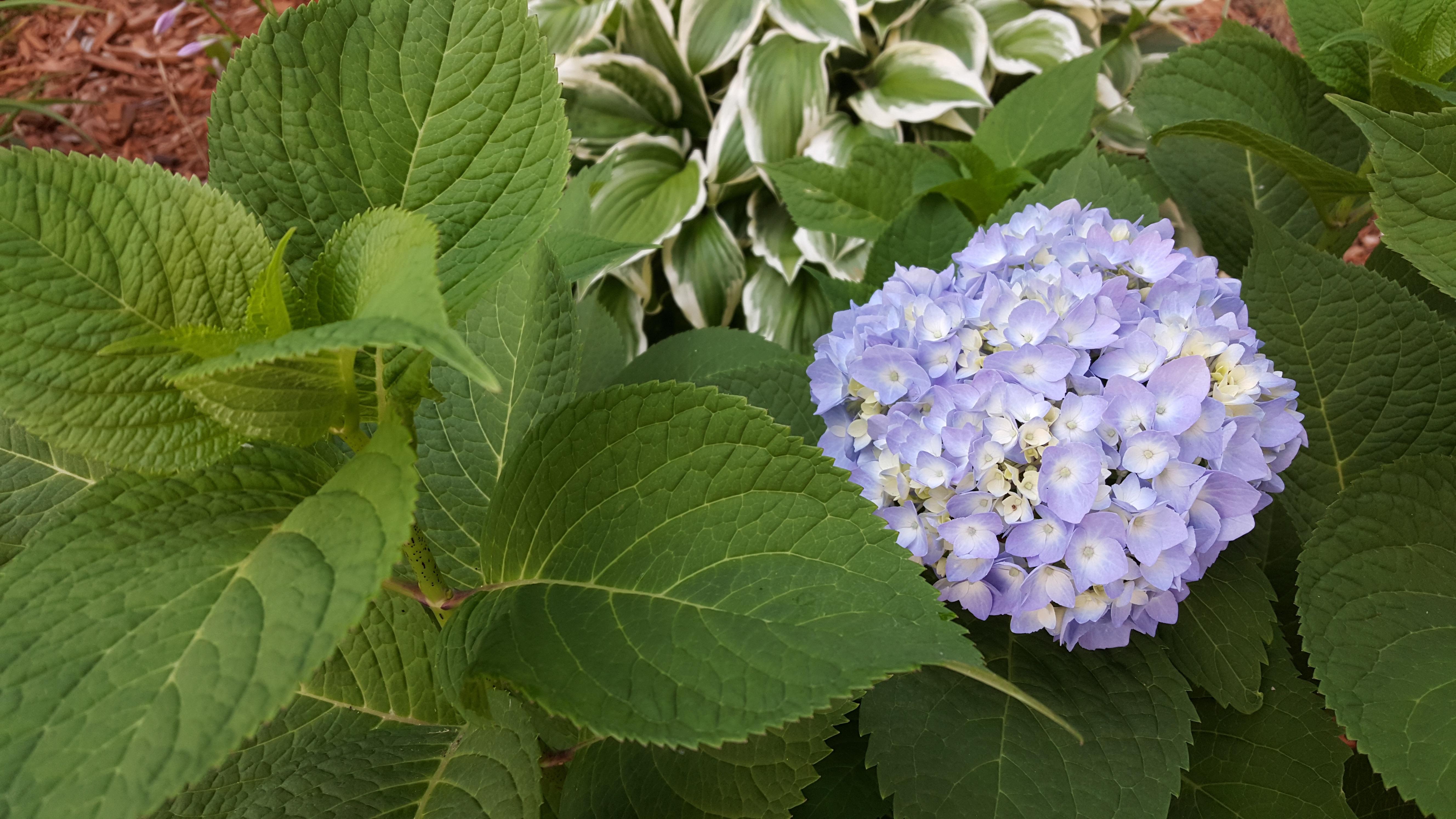 Images gratuites fleur botanique hortensia arbuste for Plante annuelle