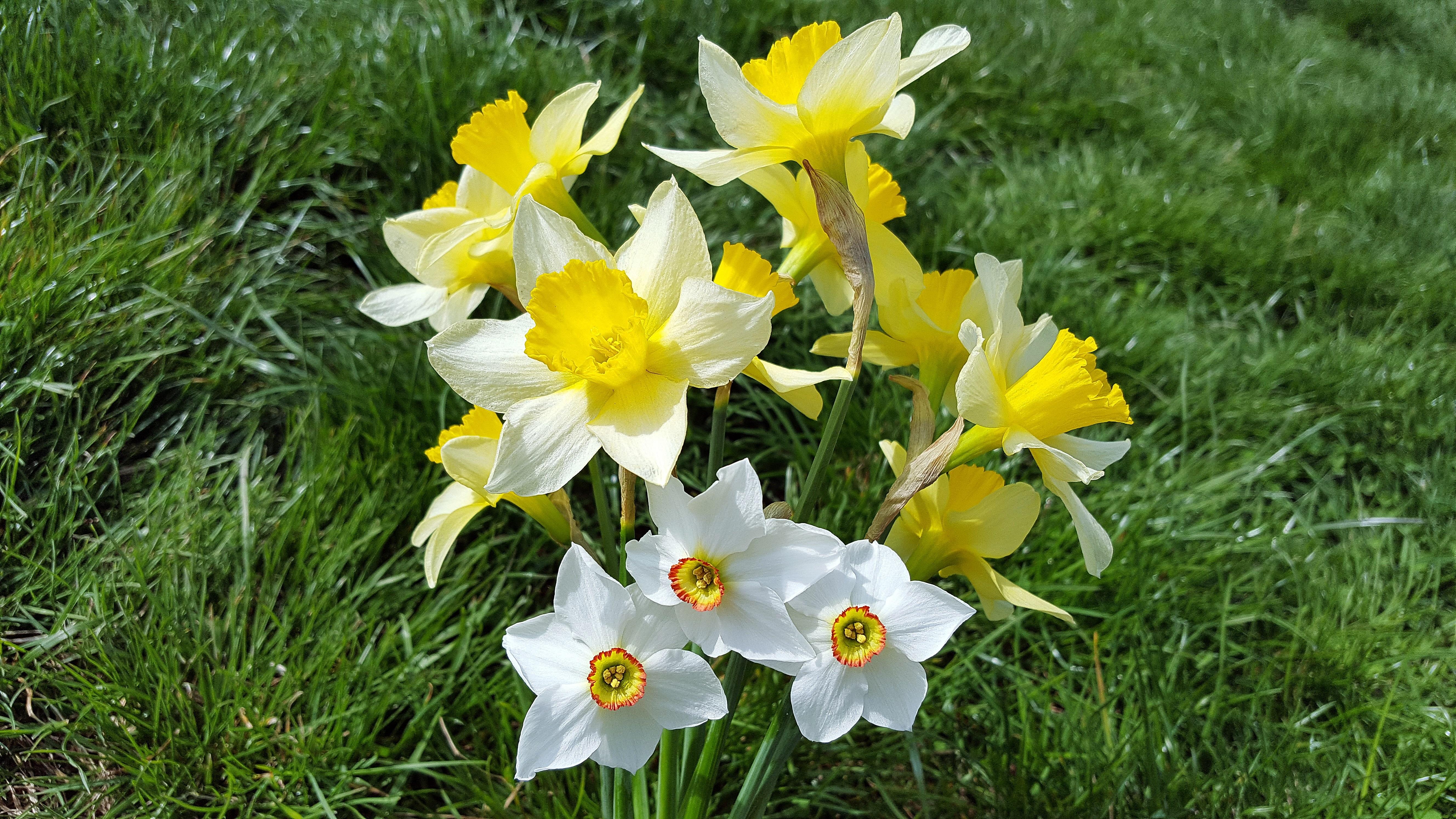 Images gratuites botanique jonquille flore fleur for Fleurs jardin printemps