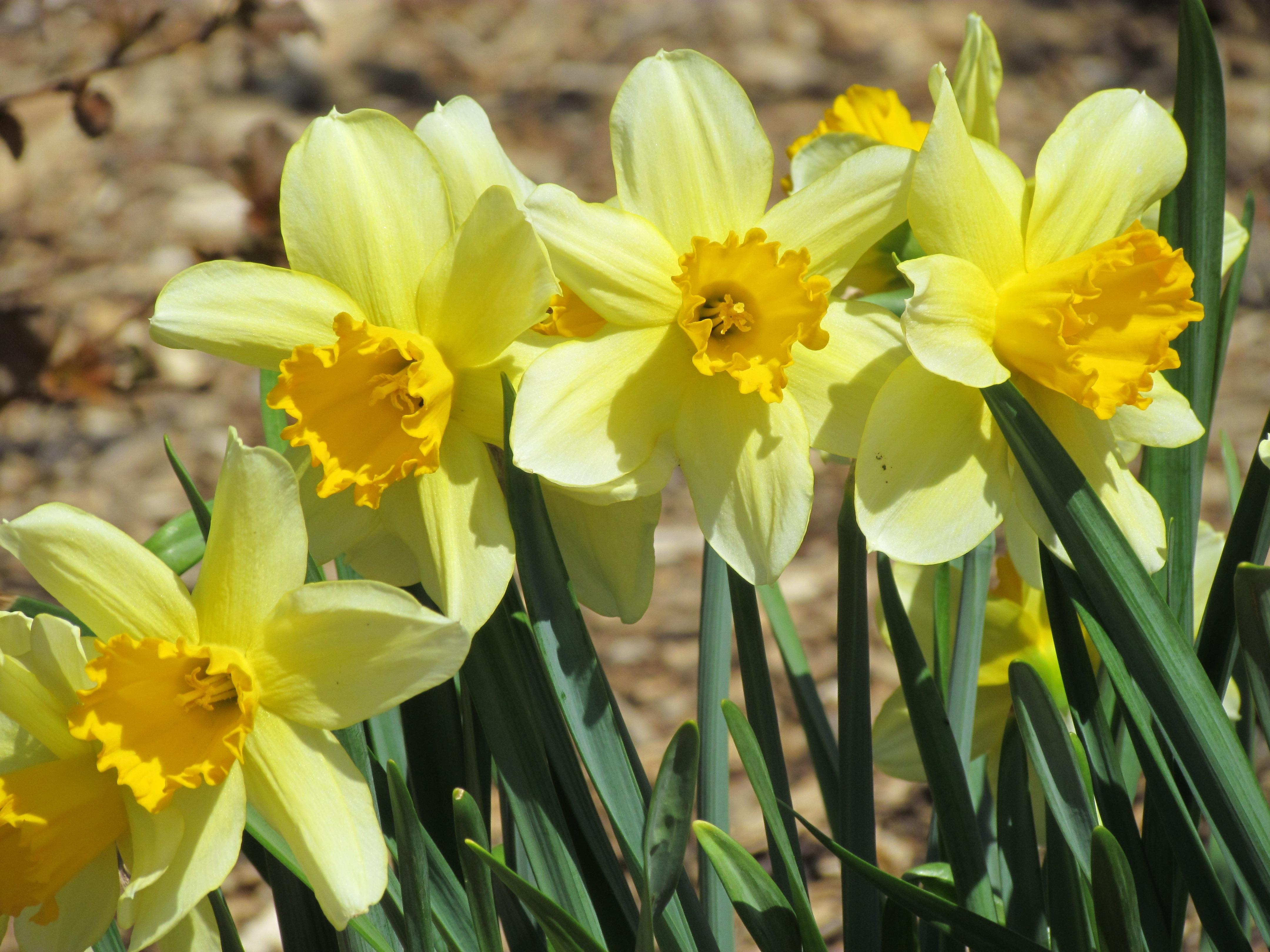 Images gratuites fleur botanique jaune flore for Fleurs jardin printemps