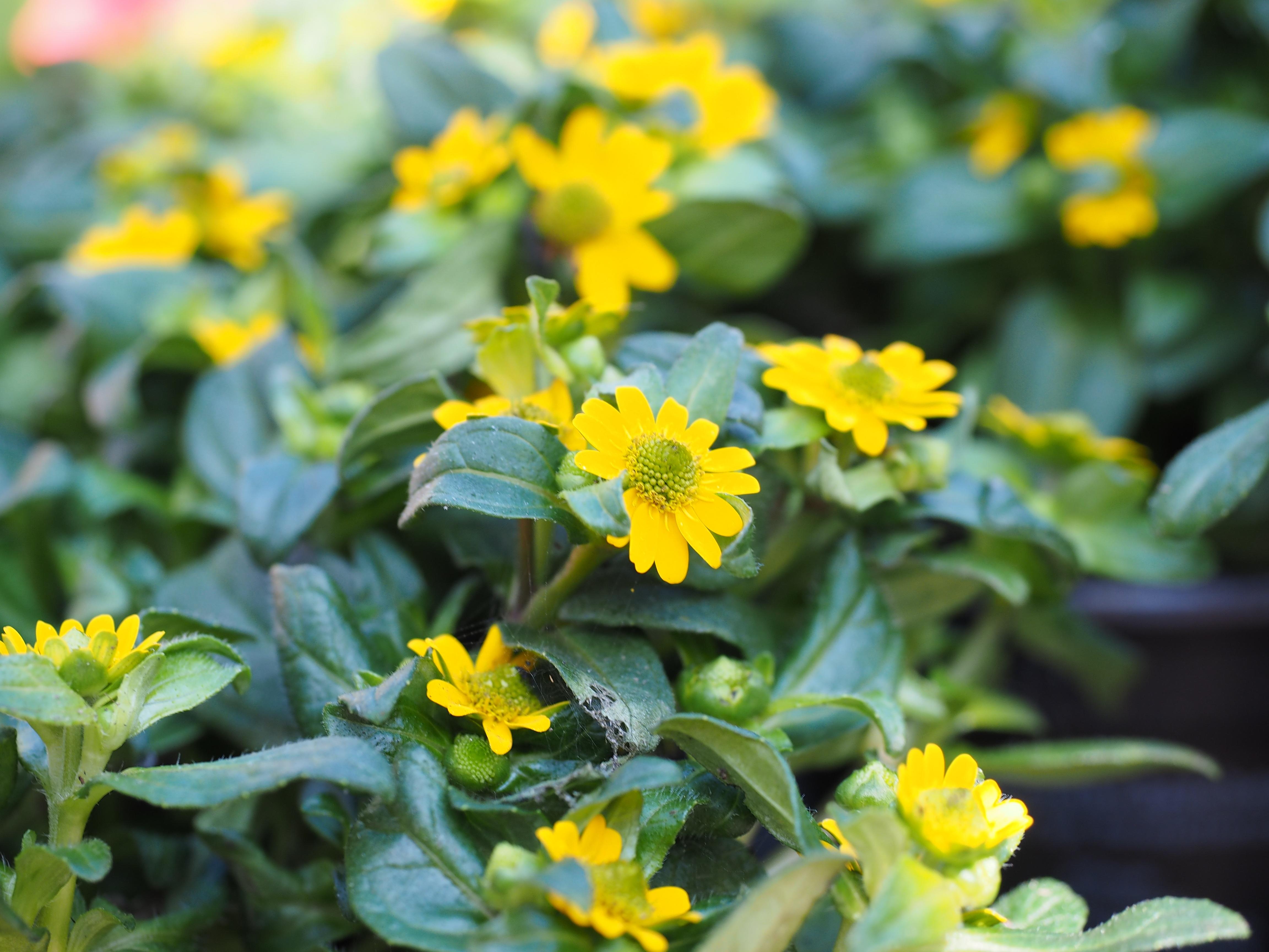 Images gratuites fleur botanique jaune flore fleur for Plante jaune