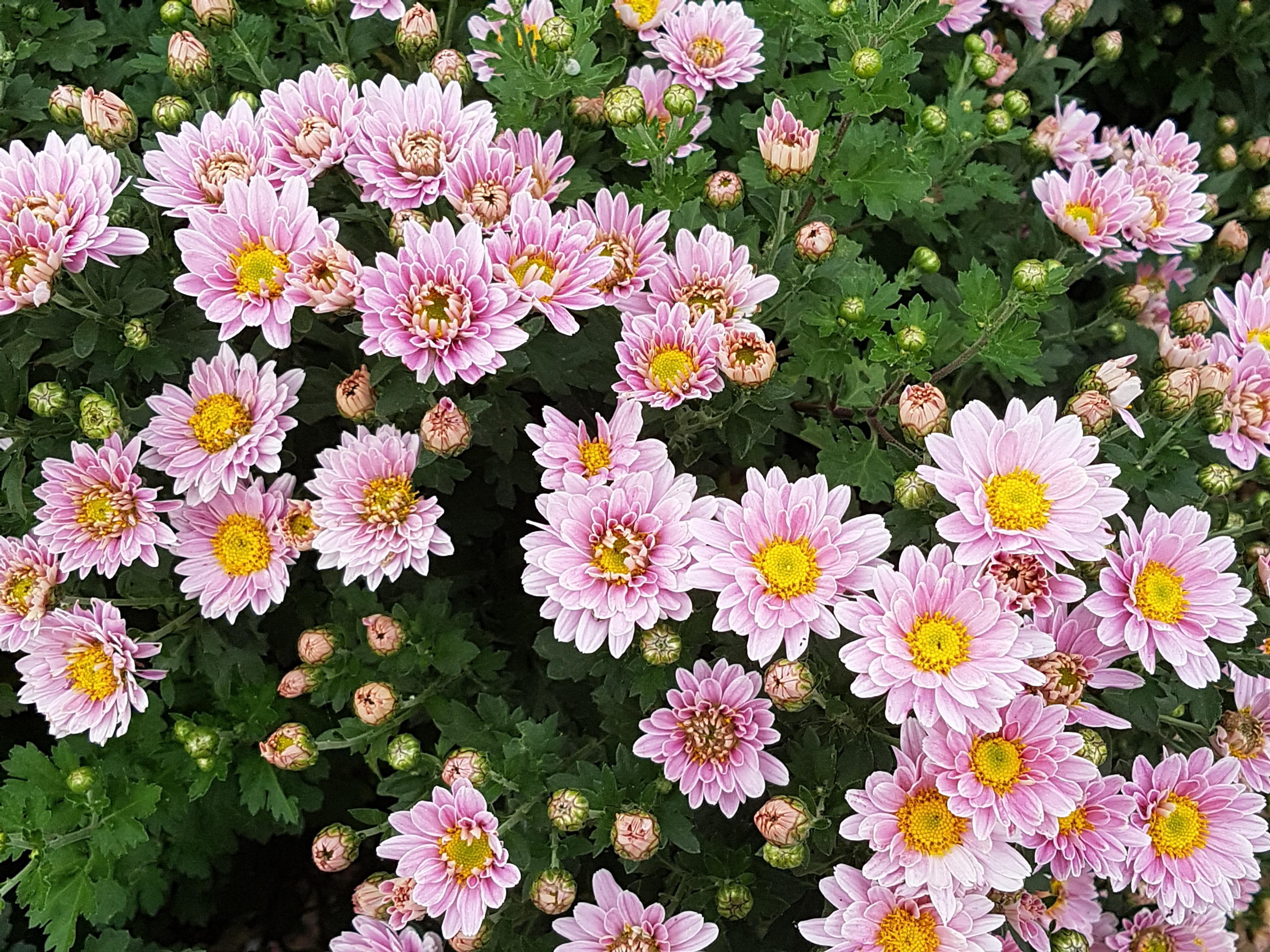 Gambar Menanam Bunga Aster Musim Gugur Botani Flora Bunga