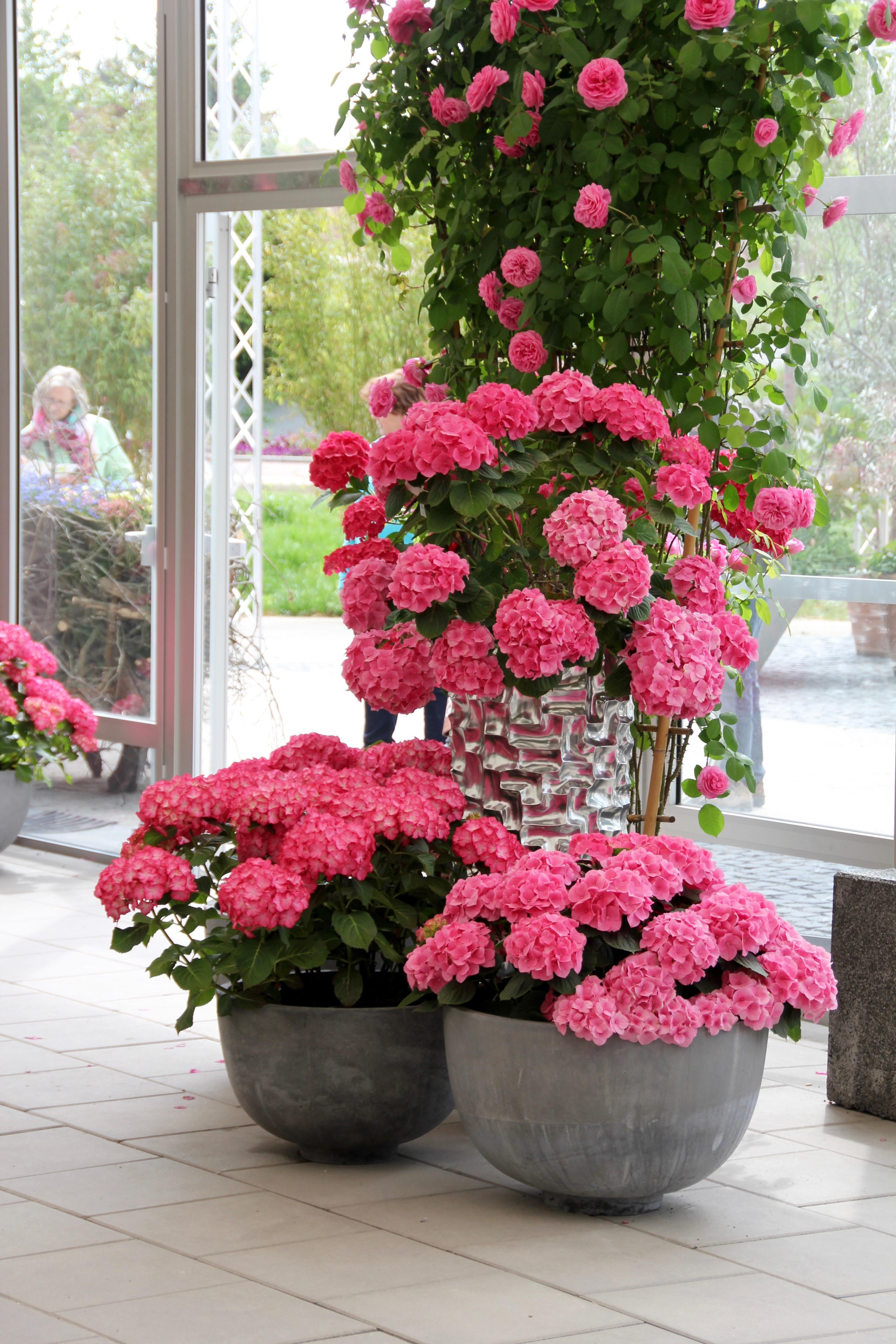 Fotos gratis flor decoraci n rosado hortensia for Planta perenne en maceta de invierno