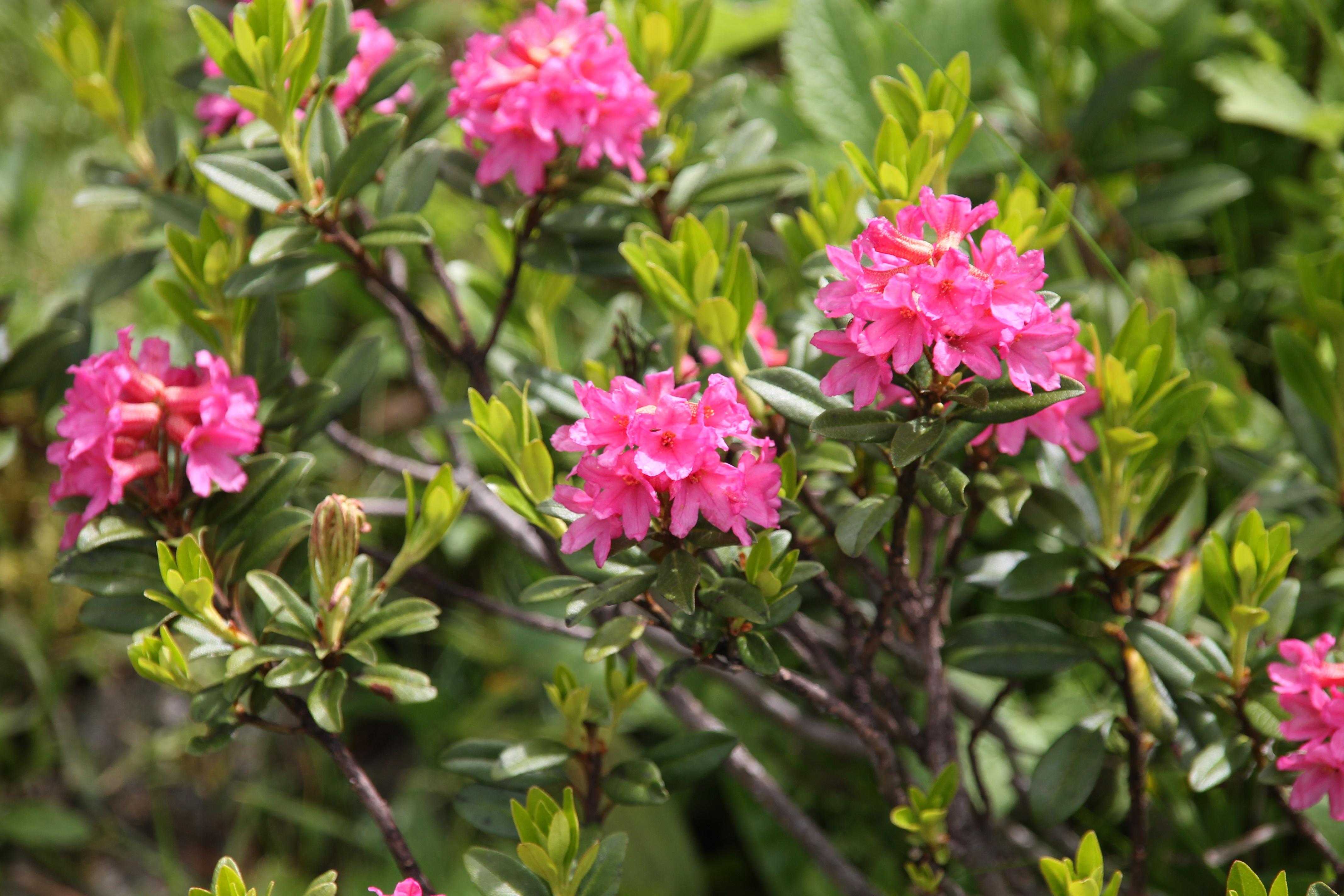Bildet anlegg evergreen botanikk flora blomster for Rododendro pianta