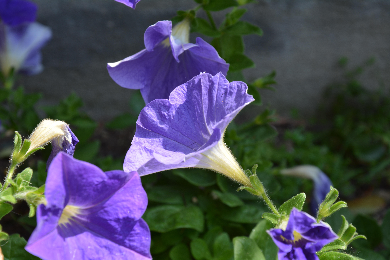 Fotos gratis : flora, flor silvestre, Flores moradas