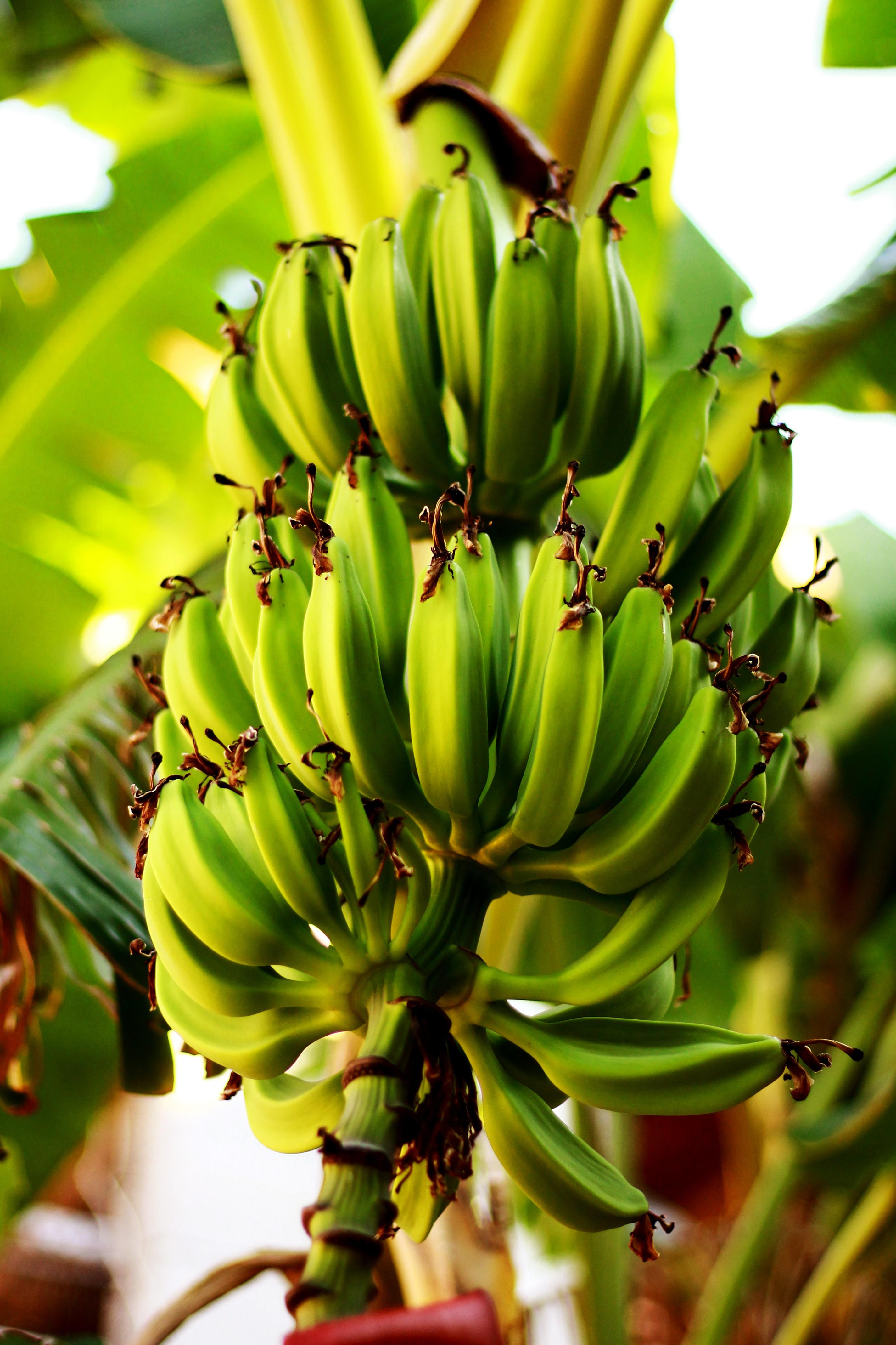 Pianta Di Banana Foto immagini belle : fiore, cibo, verde, produrre, botanica