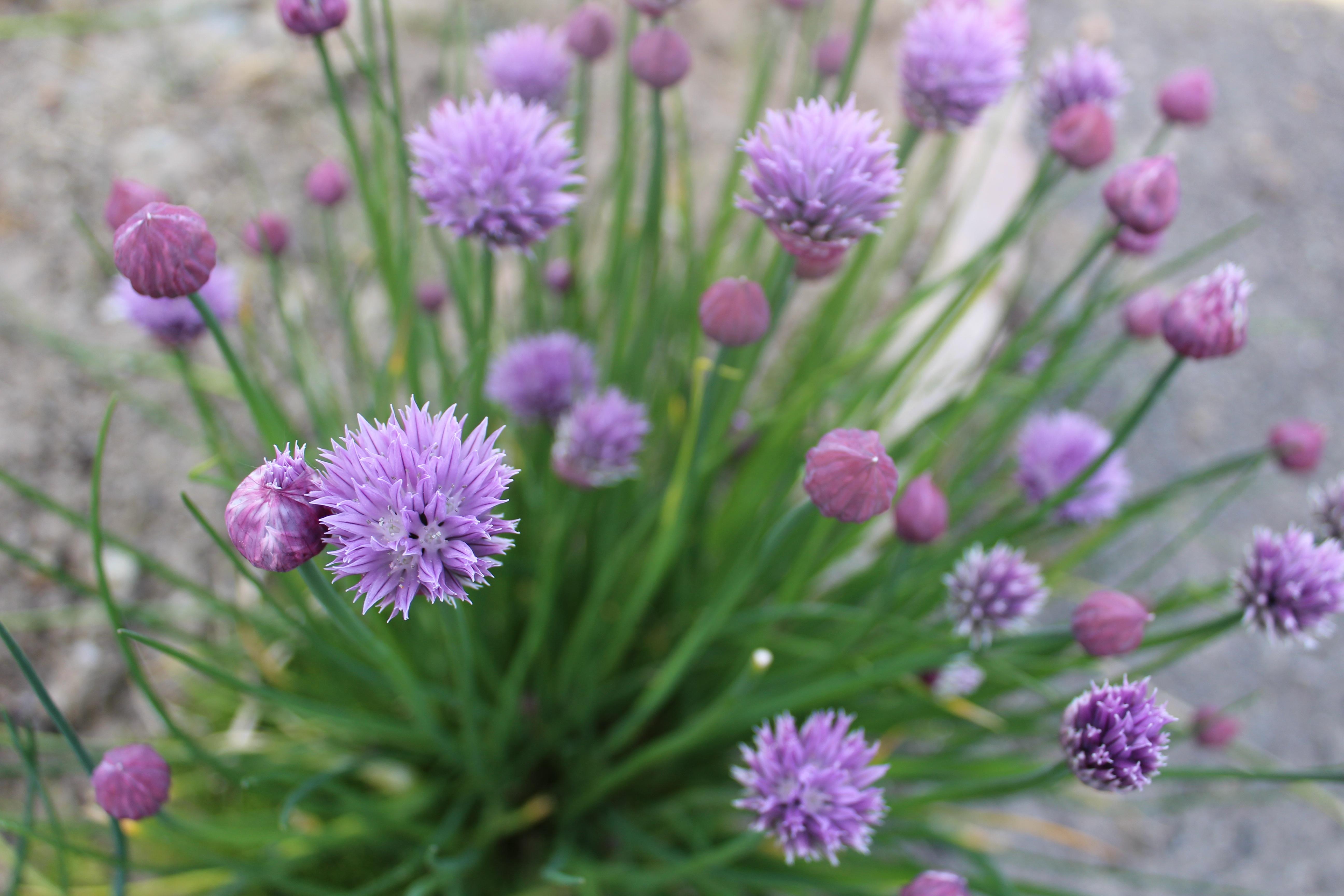 Plante aromatique fashion designs for Plants de fleurs