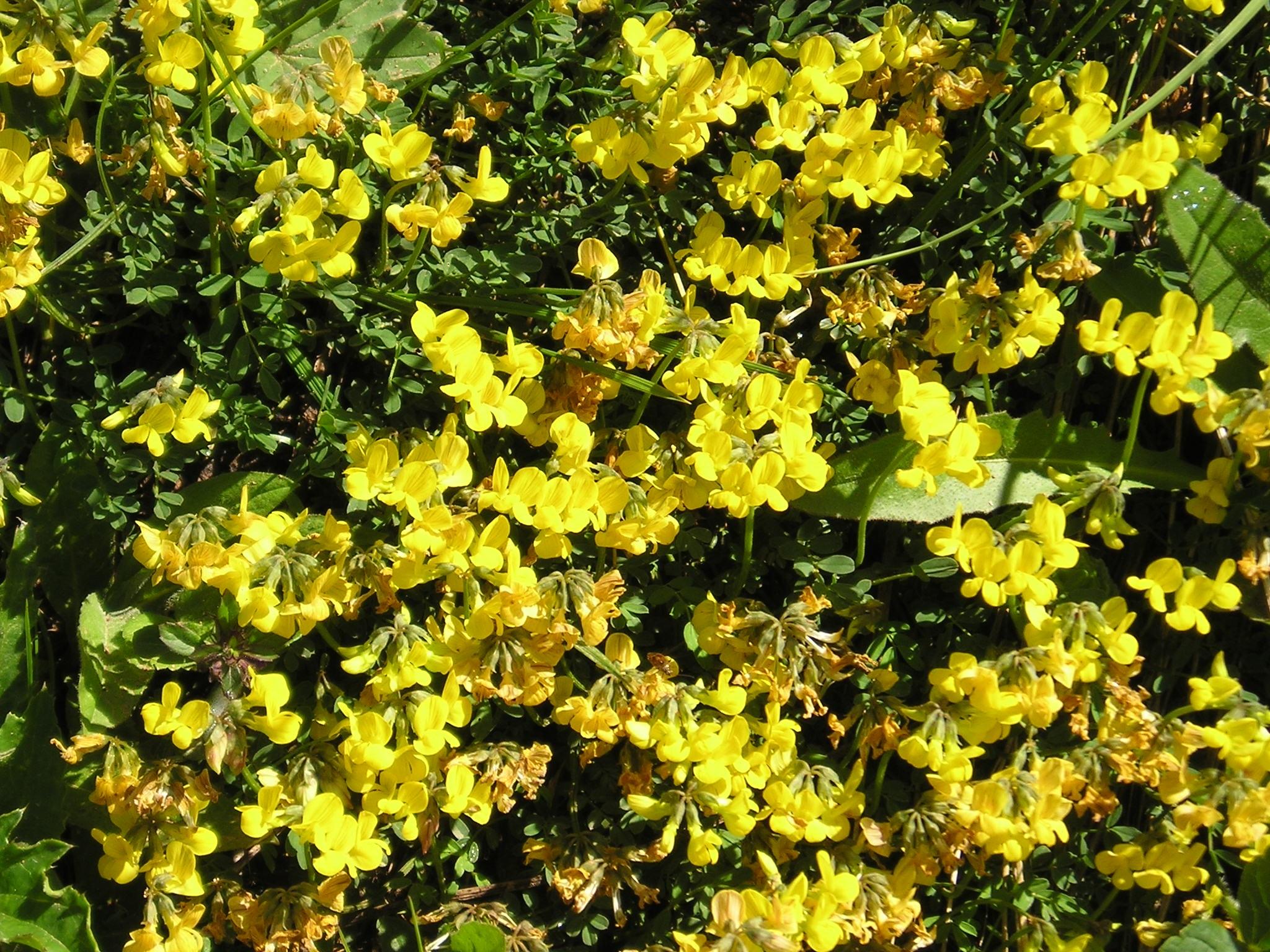 Fiori Alpini Gialli.Immagini Belle Fiore Cibo Produrre Sempreverde Giallo Flora