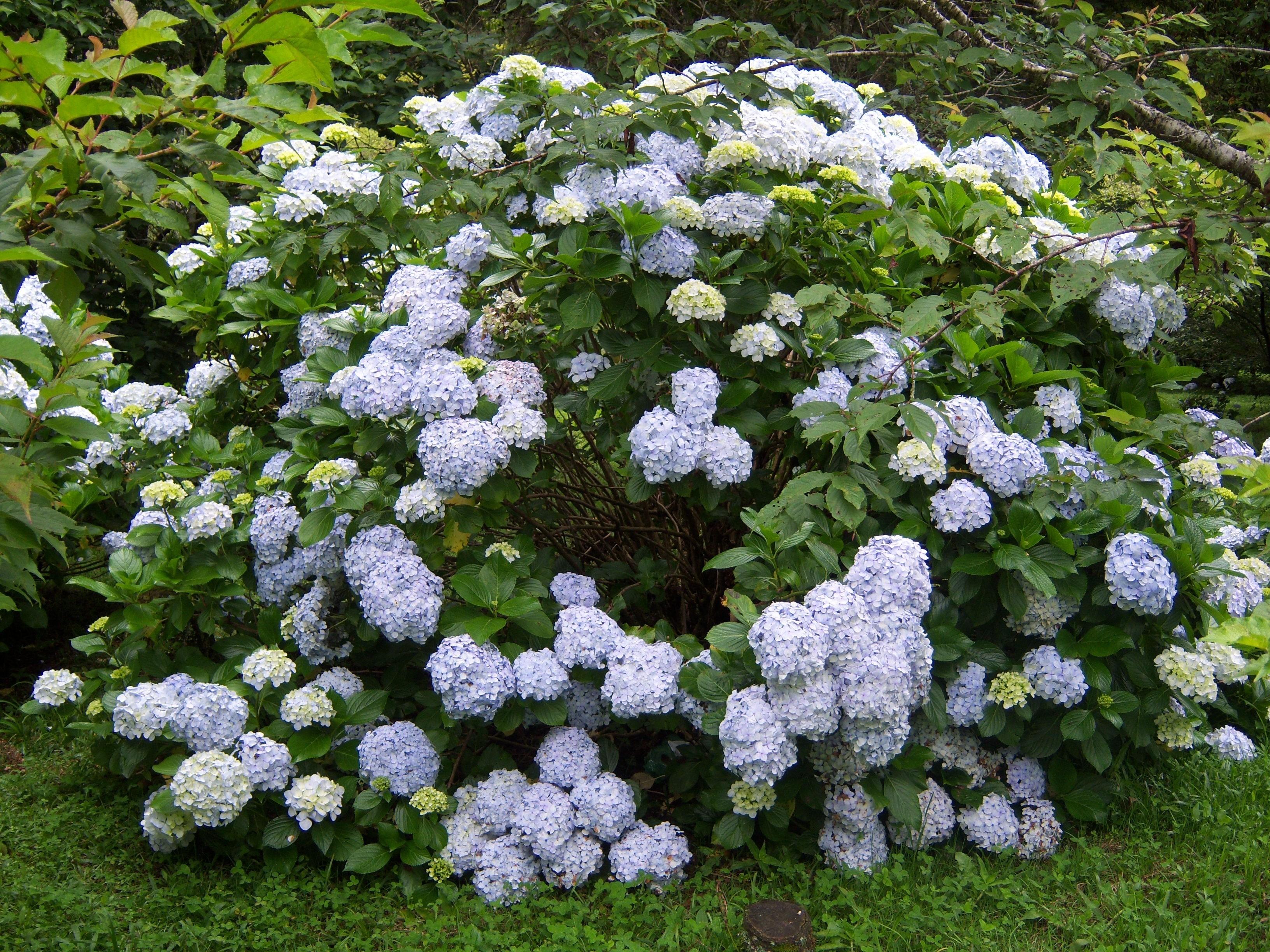 Садовые кустарники фото и названия