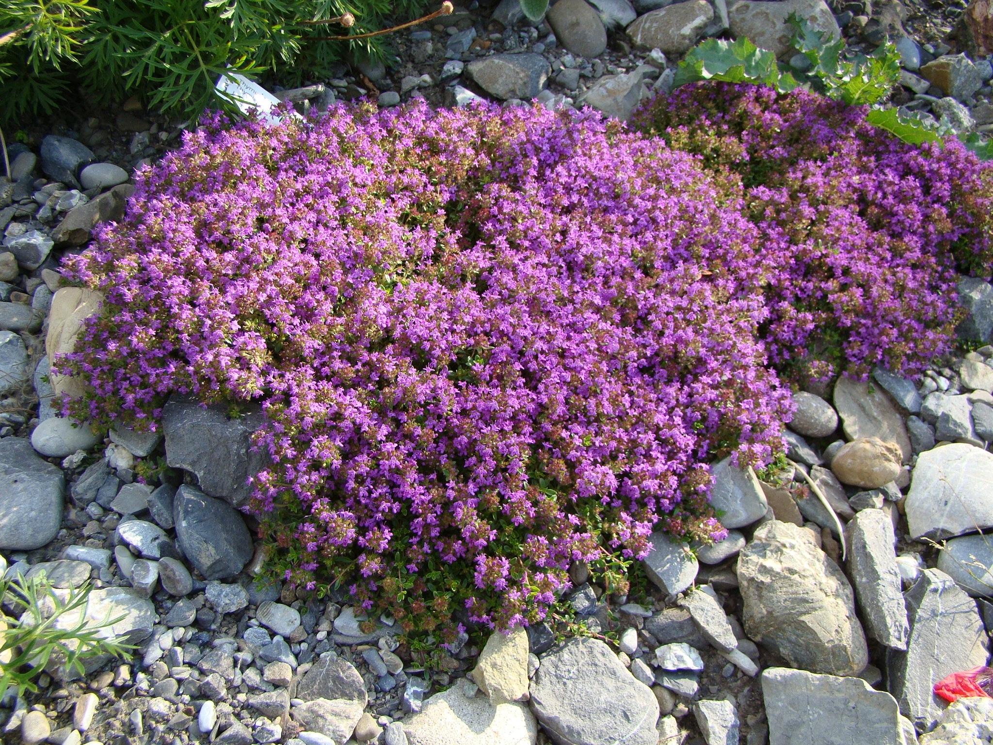 Beste Von Steingarten Blumen Design