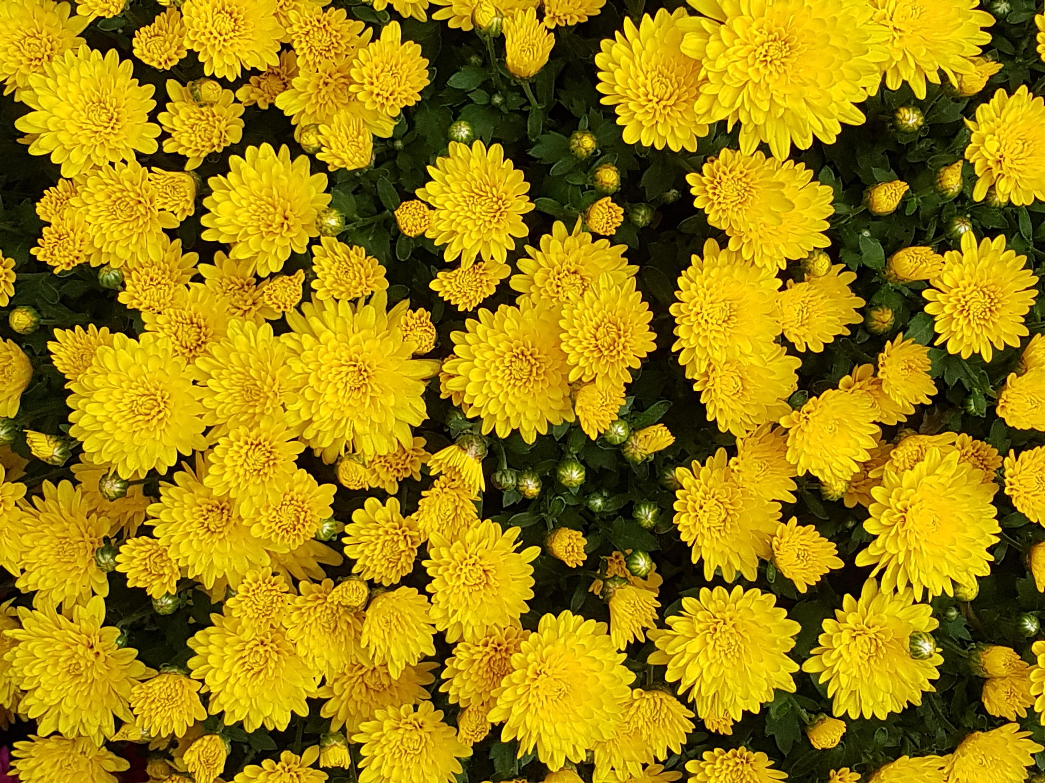 Poze : iarbă, toamnă, floră, galben floare, Asteraceae, crizantemă ...