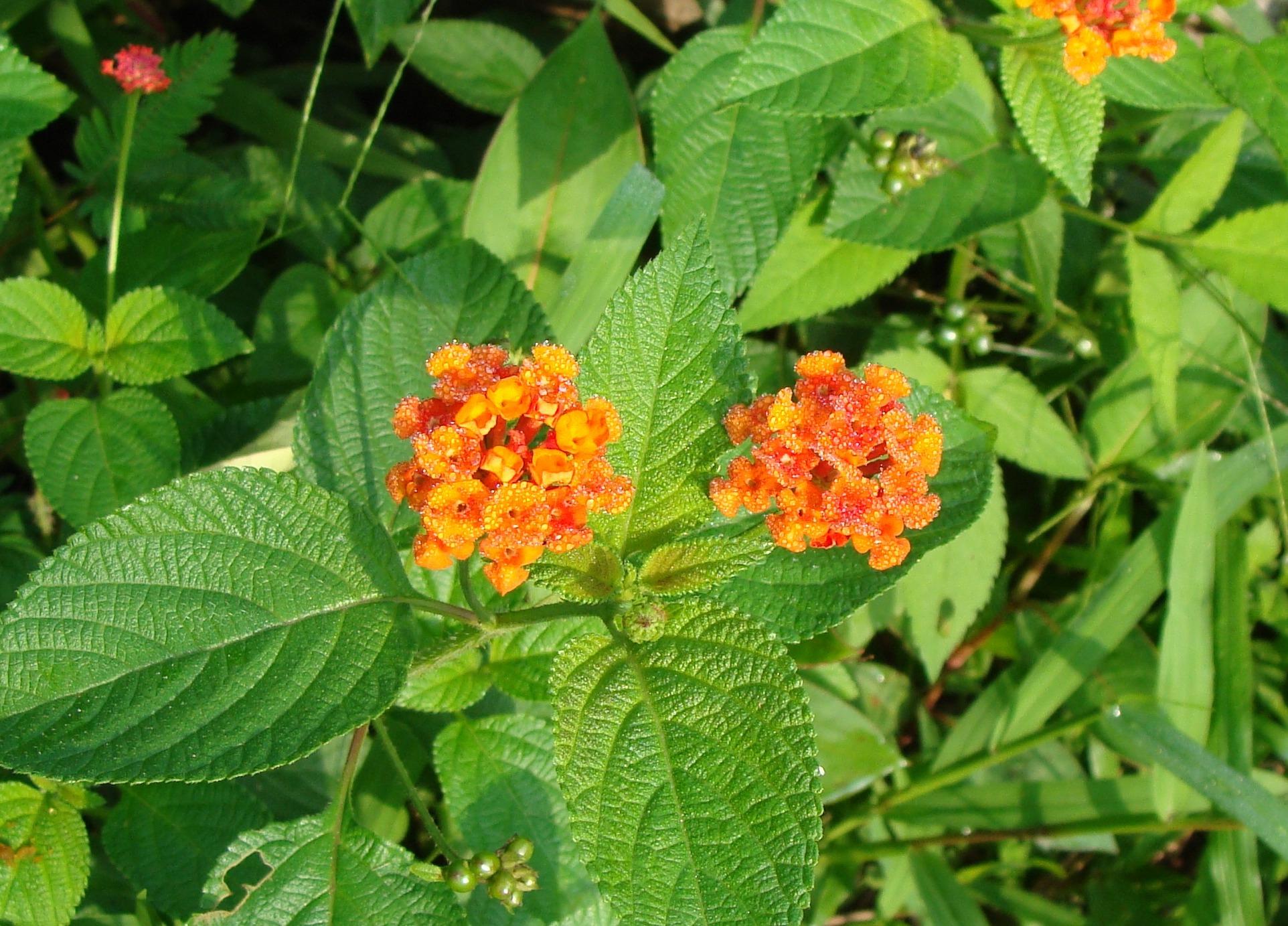 Images gratuites fleur herbe botanique flore fleur for Plante arbuste