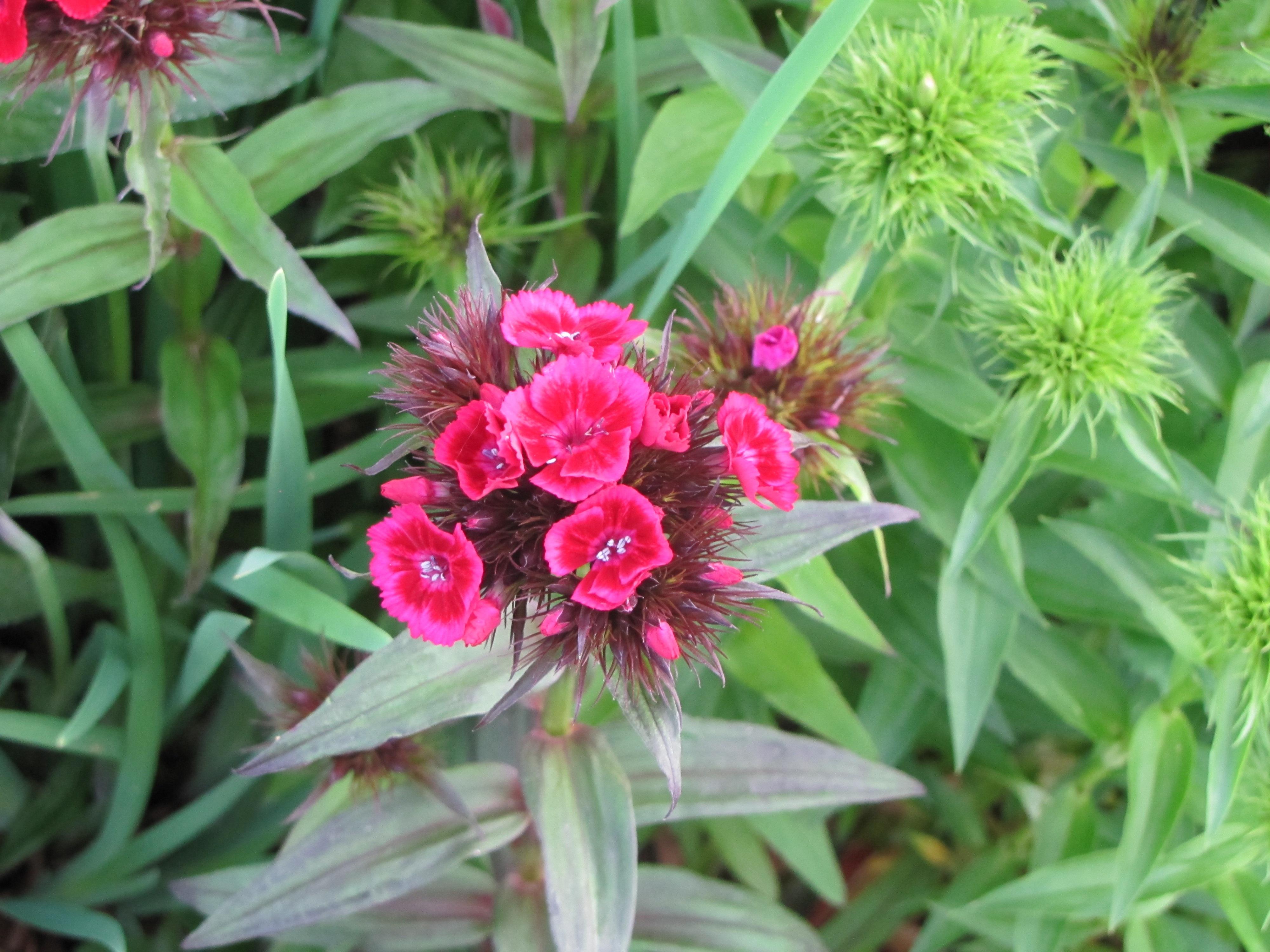 images gratuites : fleur, herbe, botanique, rose, flore, fleur