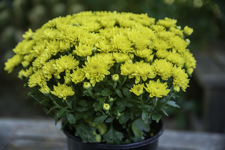 Kostenlose Foto Blume Kraut Botanik Gelb Garten Flora Blumen