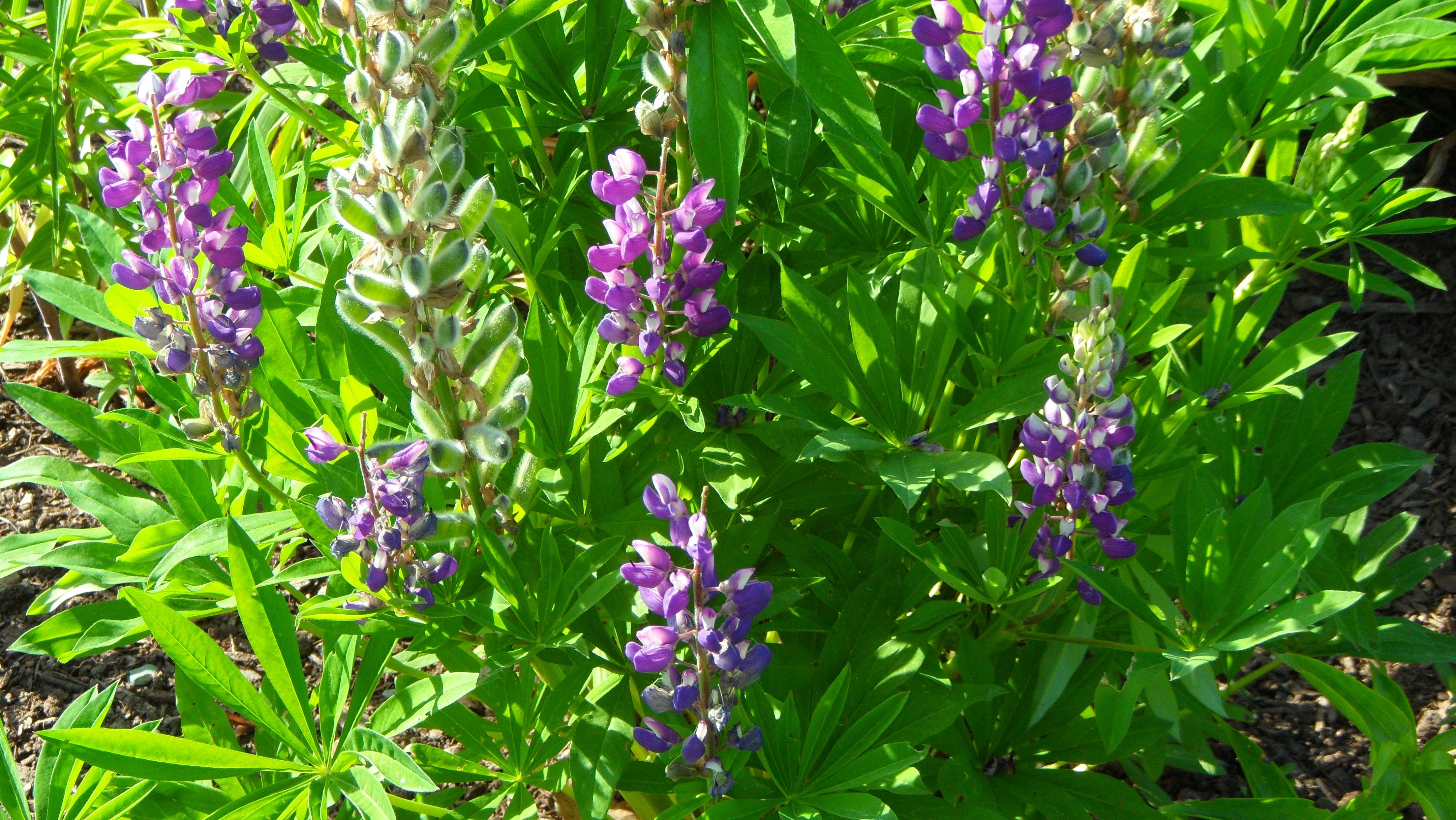 Люпин однолетний фото цветов