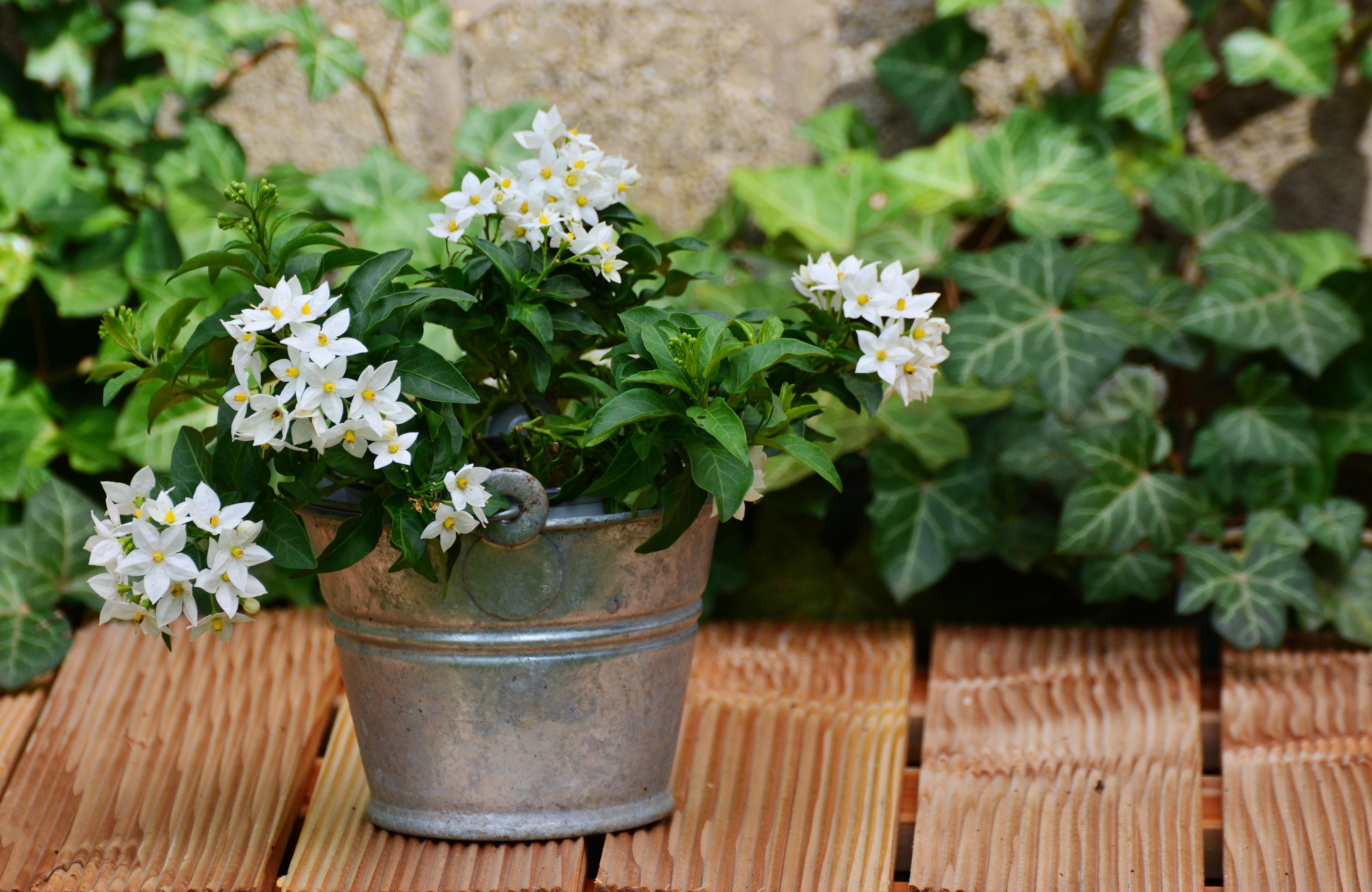 Fotos gratis flor hierba jard n flores arreglo - Hierba luisa en maceta ...