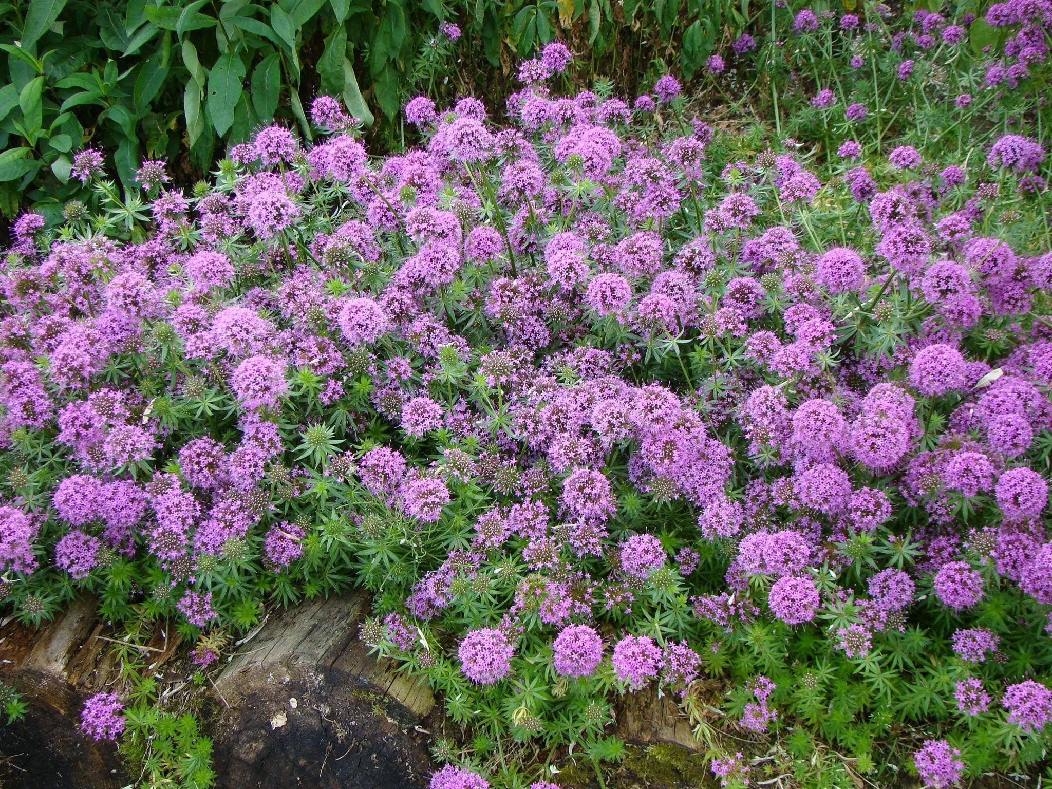 Plant Flower Herb Garden Pink Flora Shrub Groundcover Flowering Woody Land English Lavender