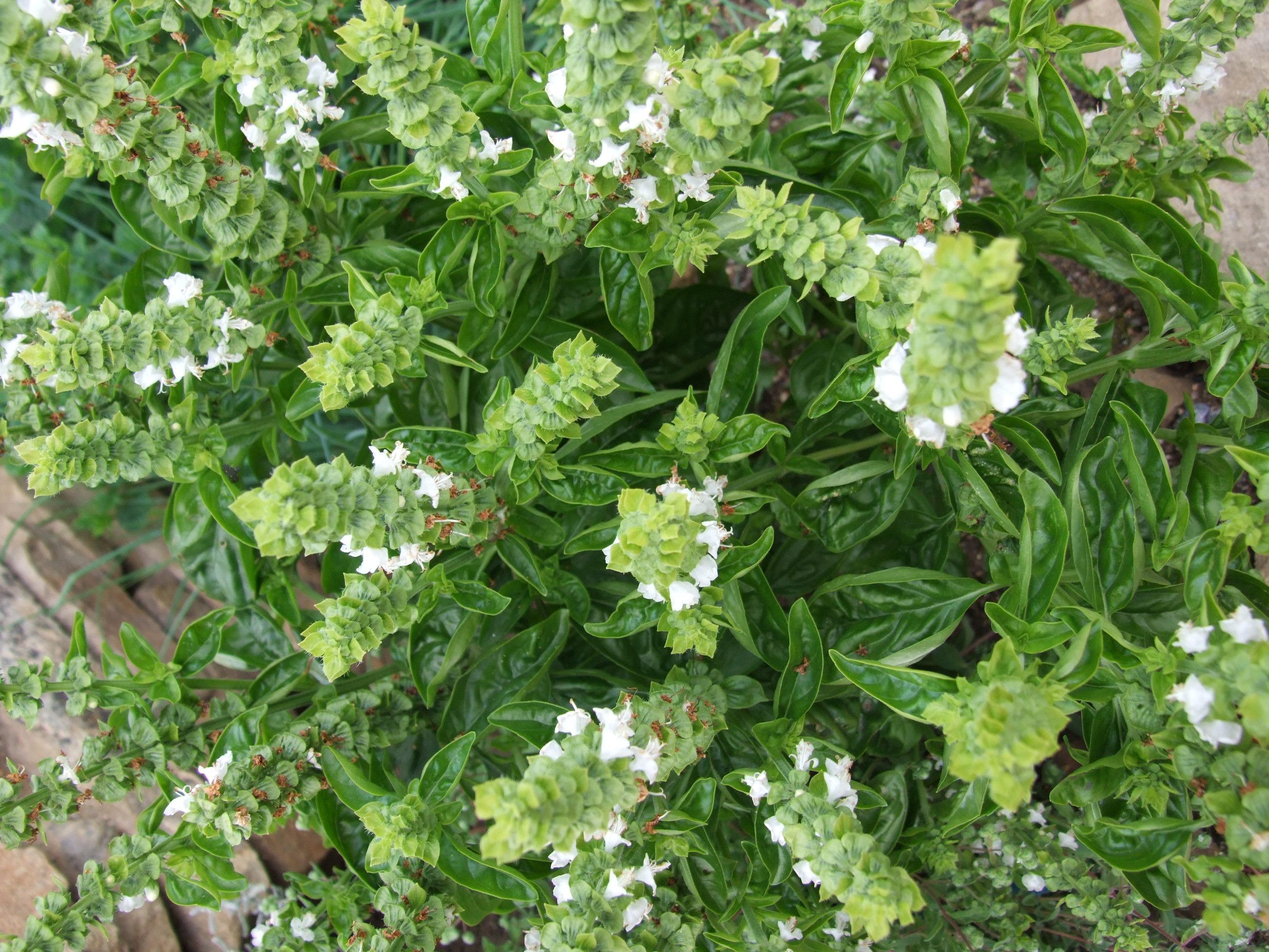 gratis billeder blomst urt fremstille basilikum busk krydderier anthriscus blomstrende. Black Bedroom Furniture Sets. Home Design Ideas