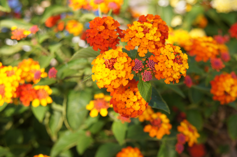 Populares Banco de imagens : plantar, flor, botânica, amarelo, jardim, flora  BH35