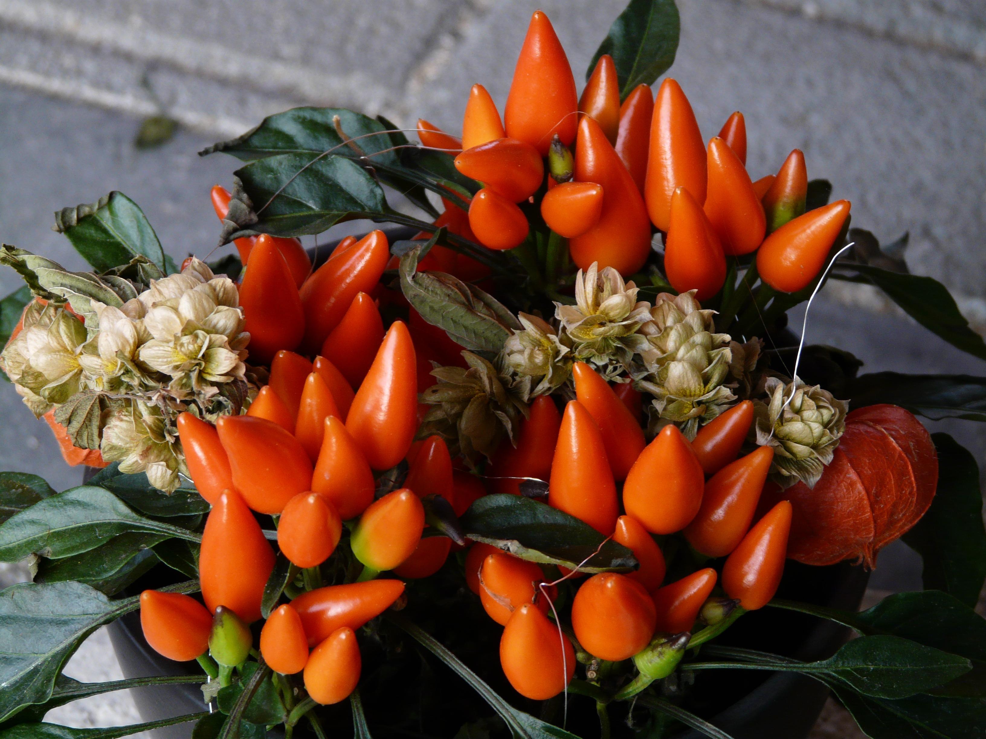 Фото пепперони цветок